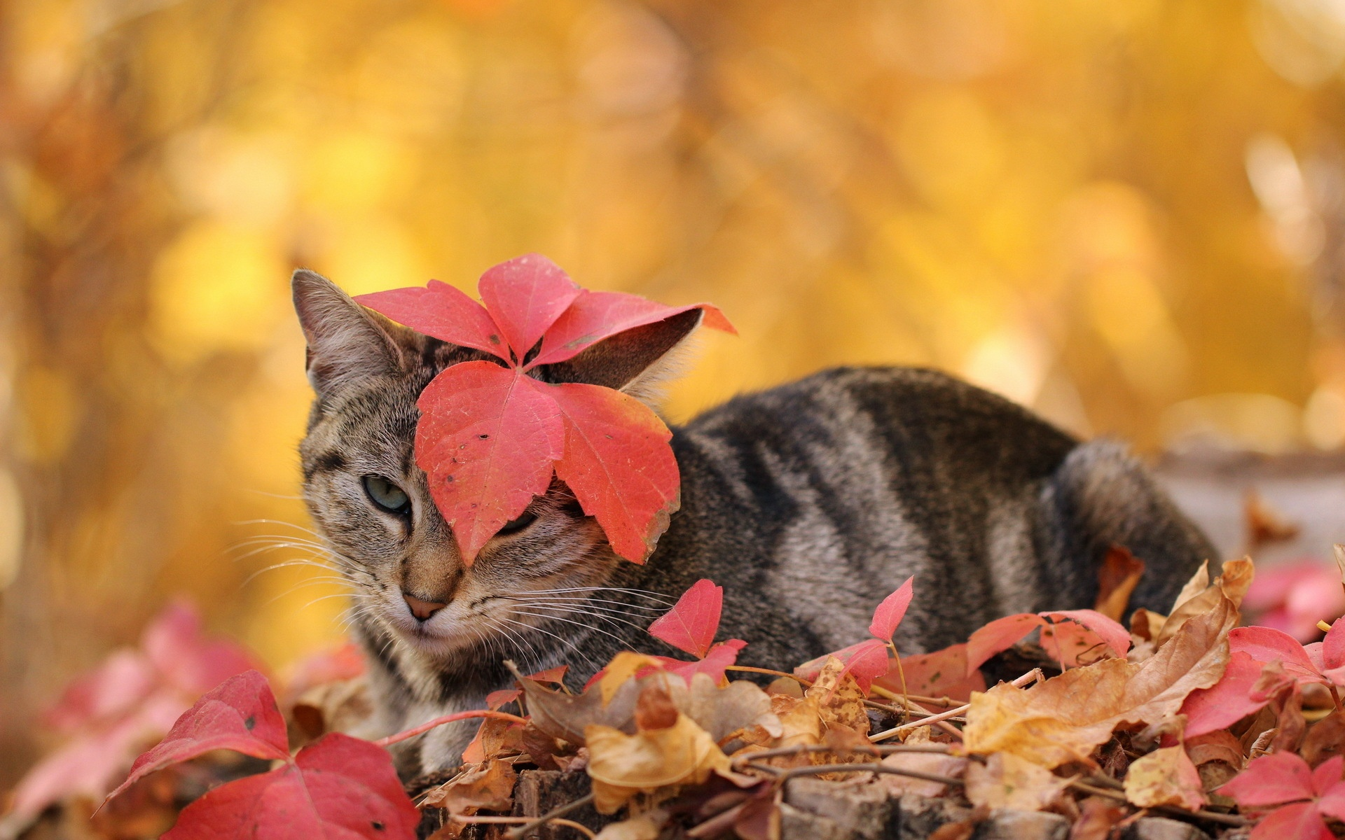cat lynx autumn foliage - photo #42