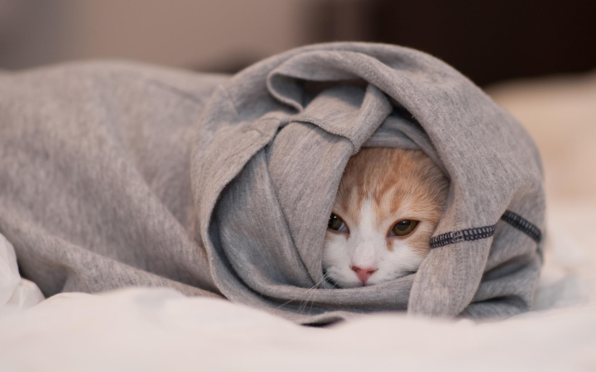 White Blanket Cat