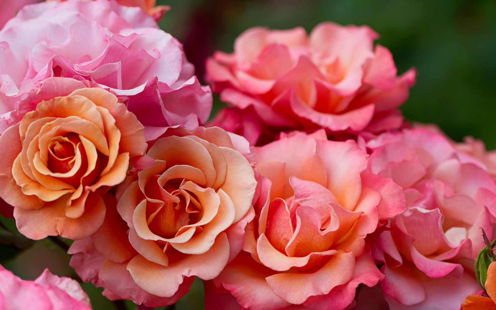 Beautiful Flower Garden 배경 화면 분홍색 장미 꽃 매크로 촬영 1920x1200 Hd 그림 이미지