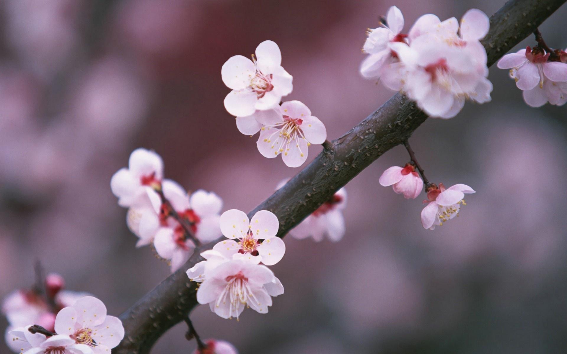 цветы вишни фото картинки прочь укусить партнёра