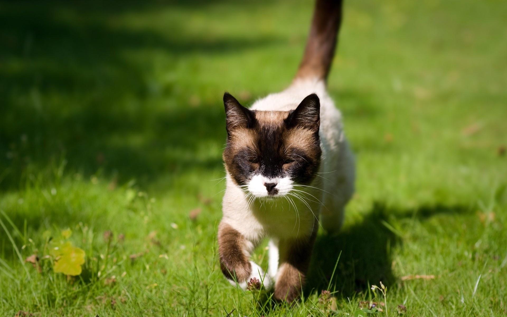 Кот сиамский кот цветы лужайка без смс