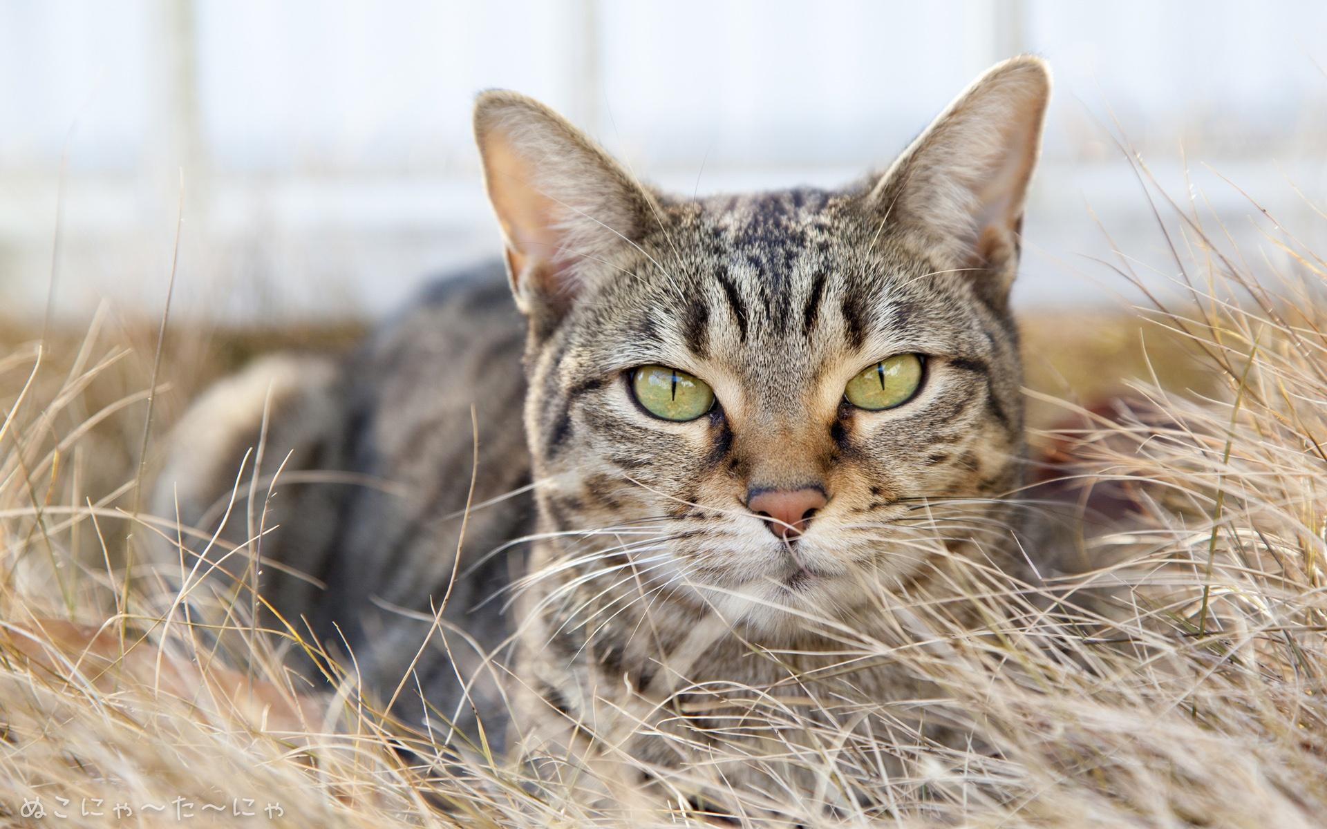 картинки с бурыми котами