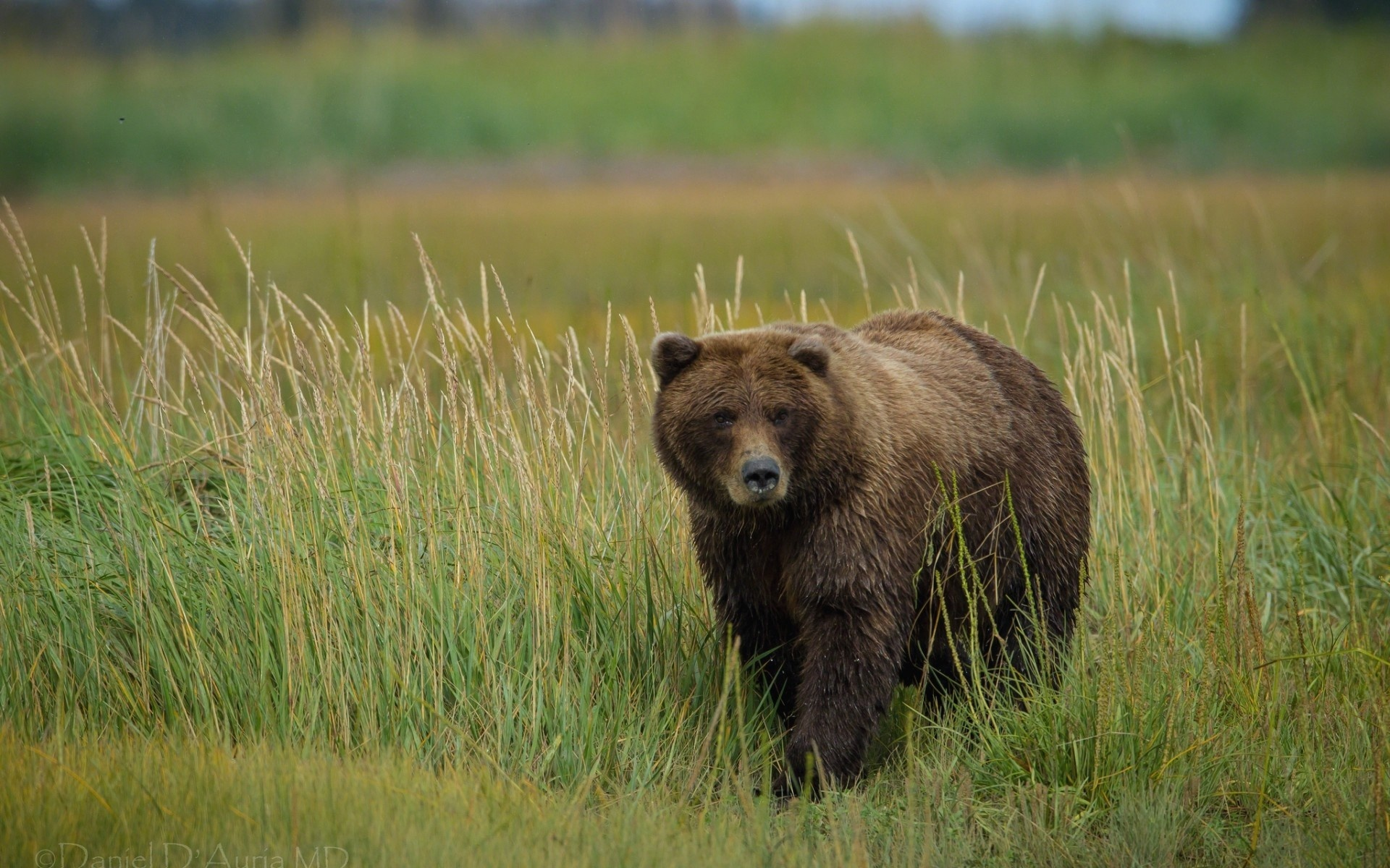 Wallpaper Grizzly Bear In The Grass 1920x1200 HD Picture Image
