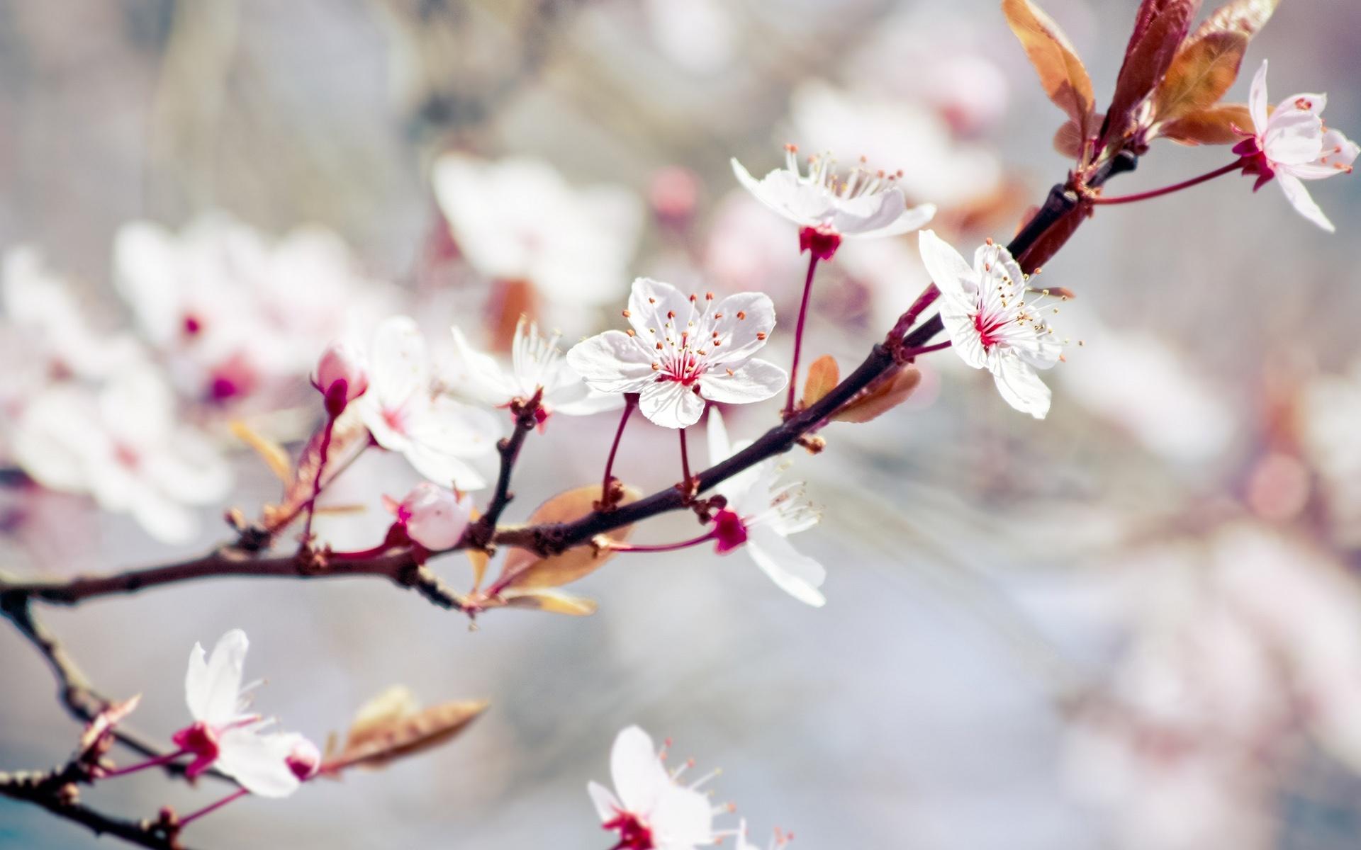 Fondo De Pantalla Flores Blancas En Fondo Rosa: Flores Blancas, árboles De Primavera Fondos De Pantalla