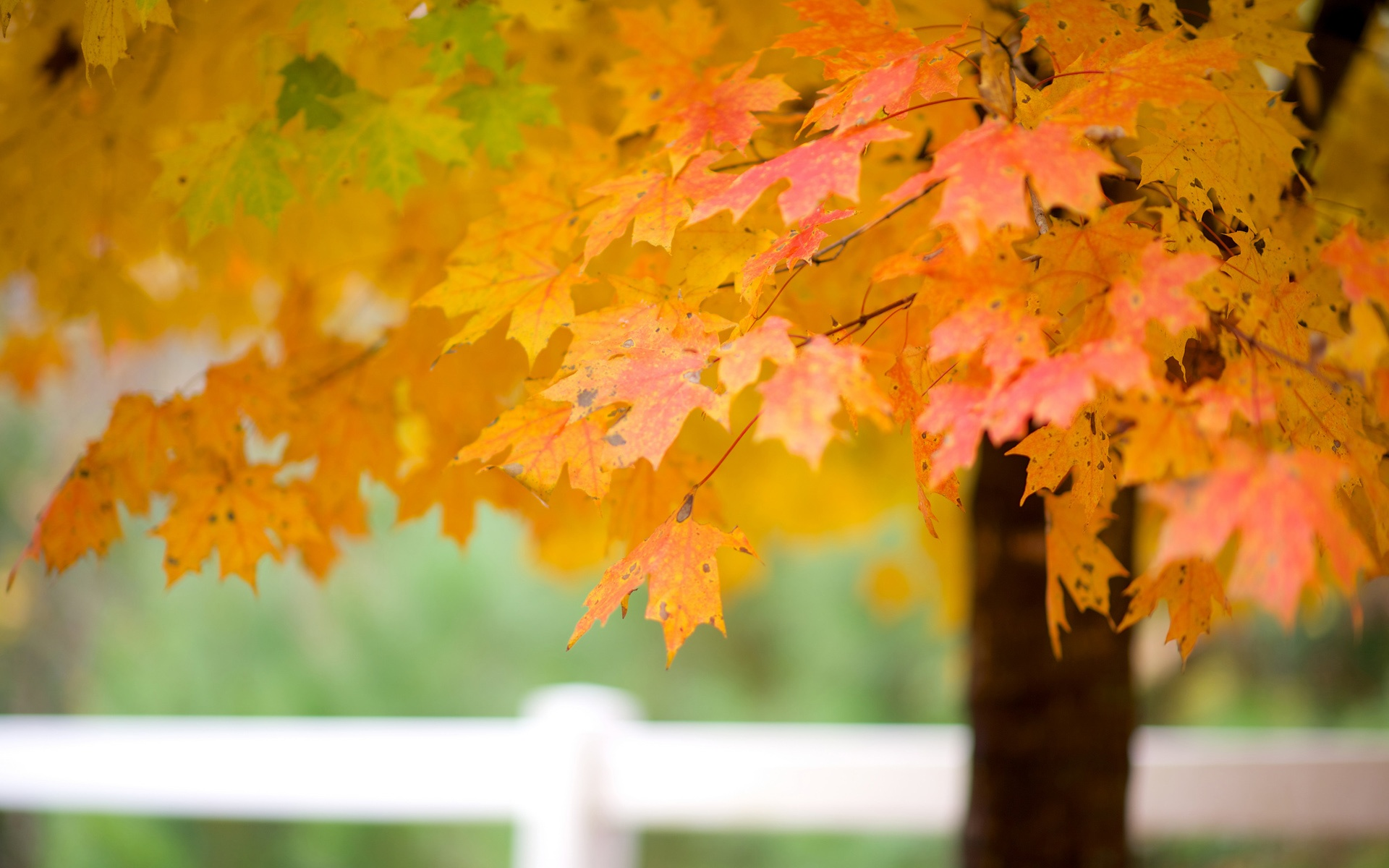 Wallpaper Maple Tree Leaves Autumn 1920x1200 Hd Picture Image