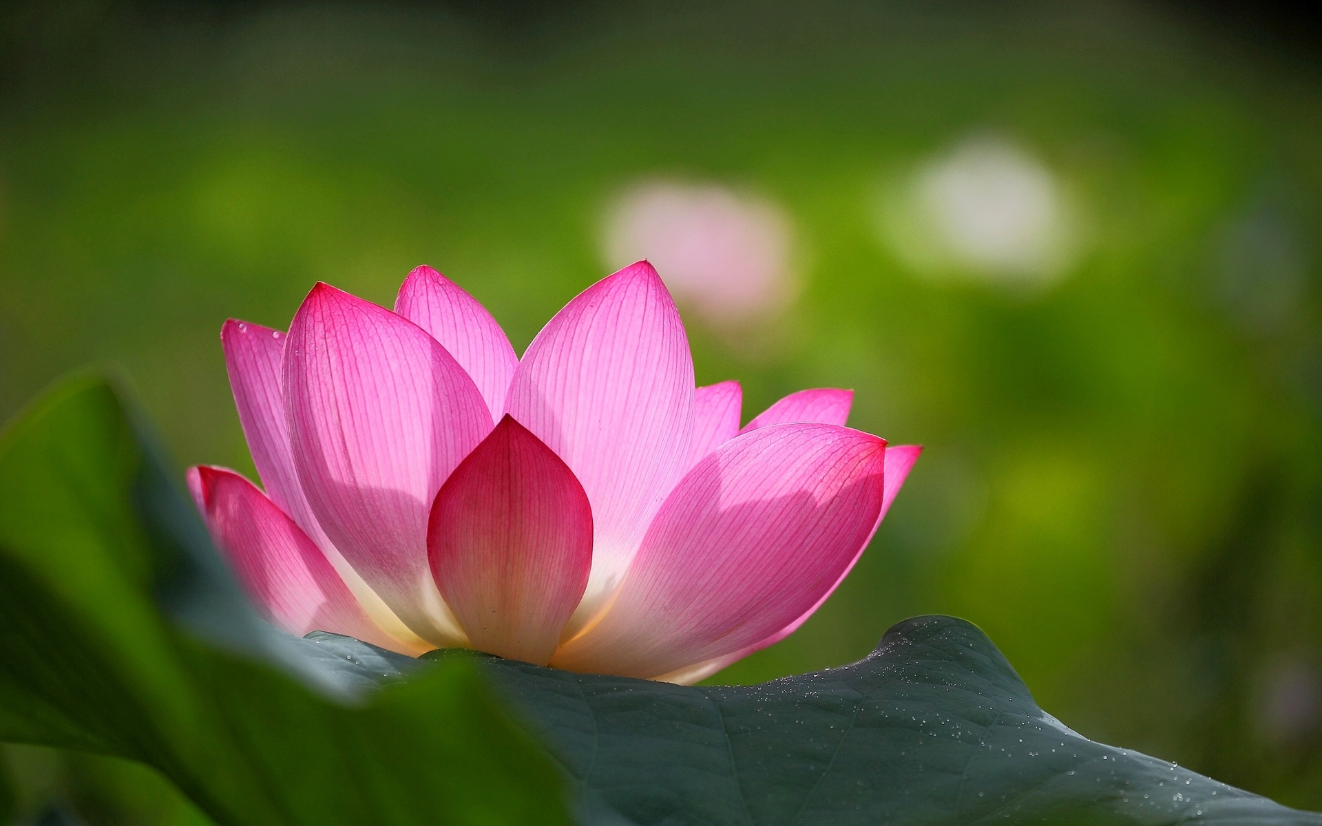 Wallpaper Pink Lotus Flower Green Leaves Blur Background Images, Photos, Reviews