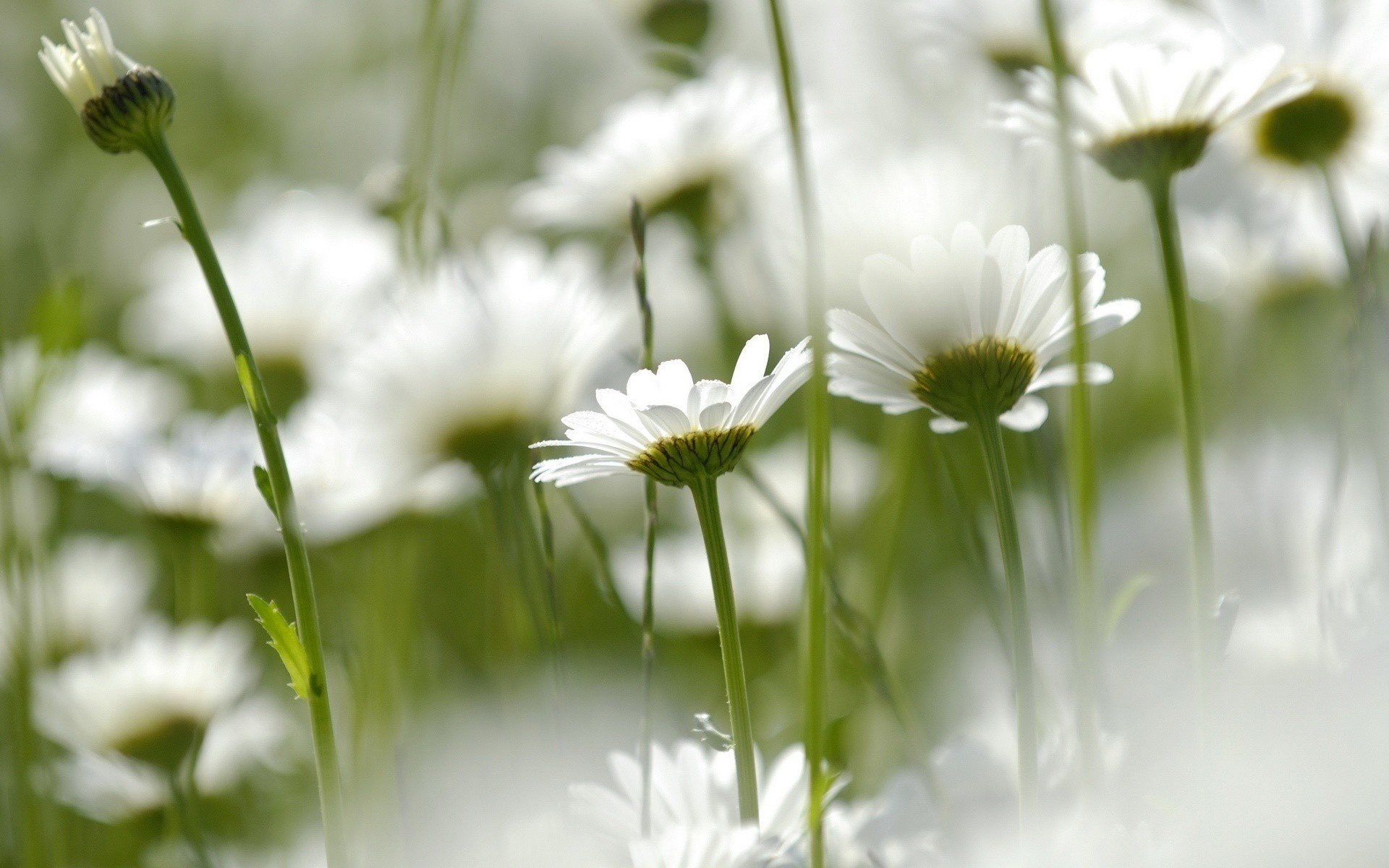 ромашка цветы фокус  № 1096443  скачать