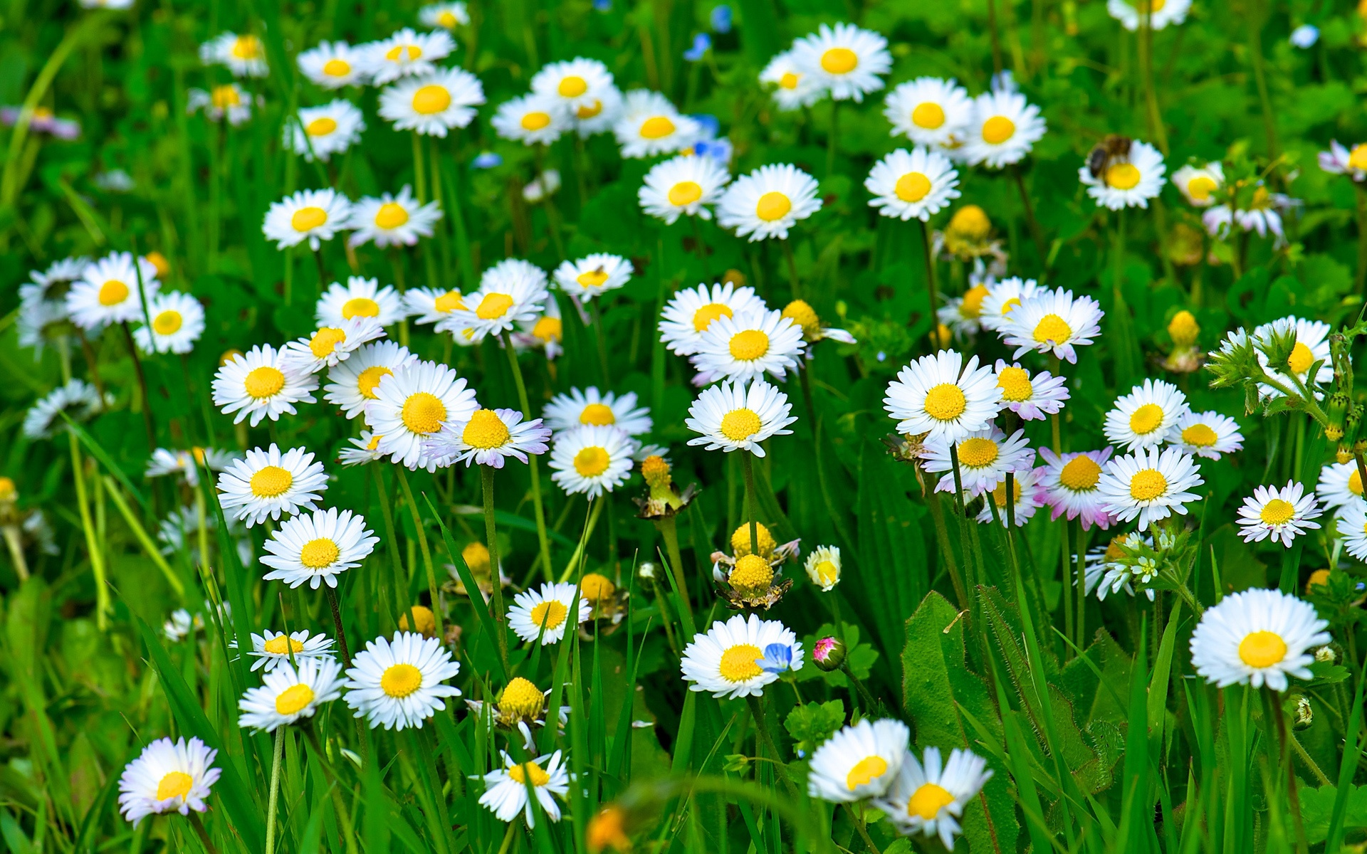 Wallpaper white daisy flowers grass leaves green 1920x1200 hd download this wallpaper mightylinksfo