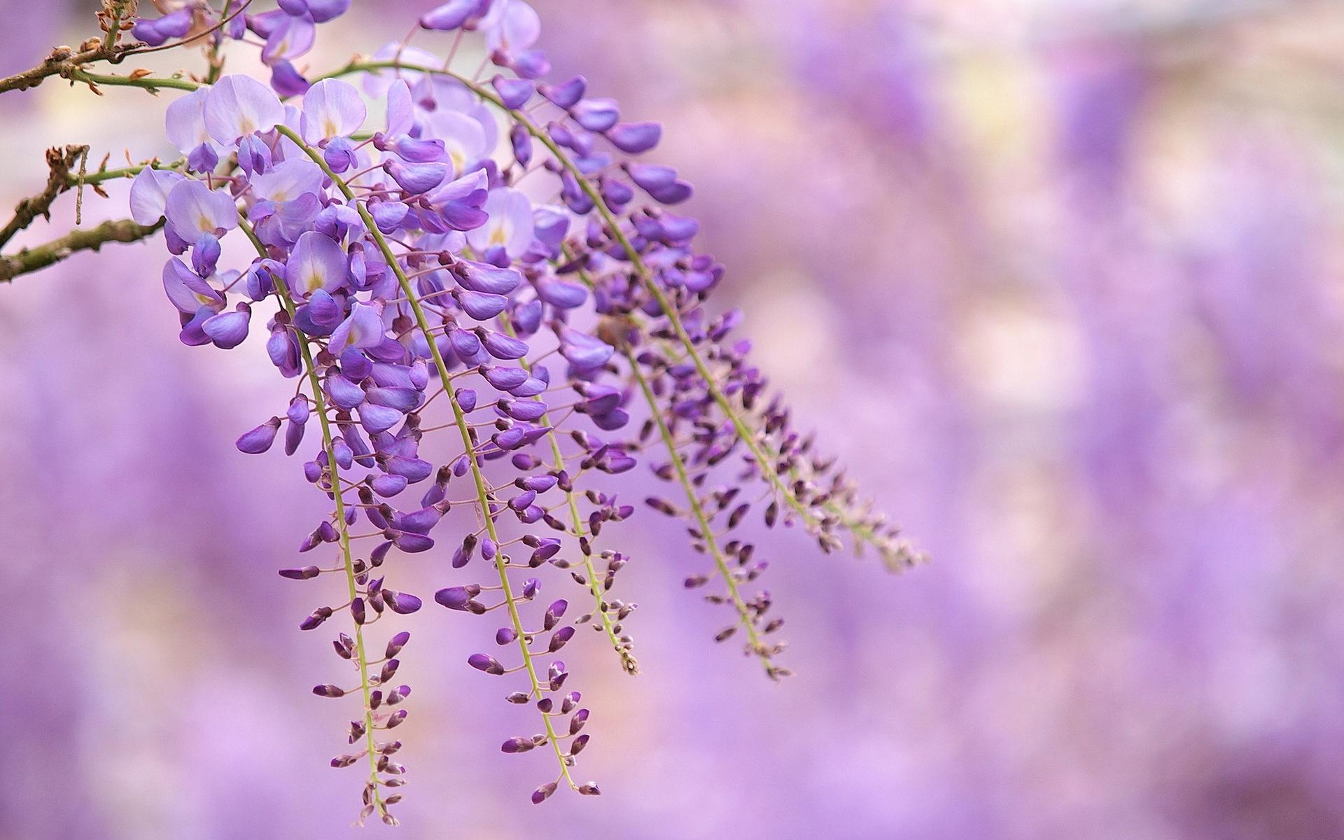 壁紙 藤紫色の花 枝 ぼかし背景 1920x1200 Hd 無料のデスクトップの