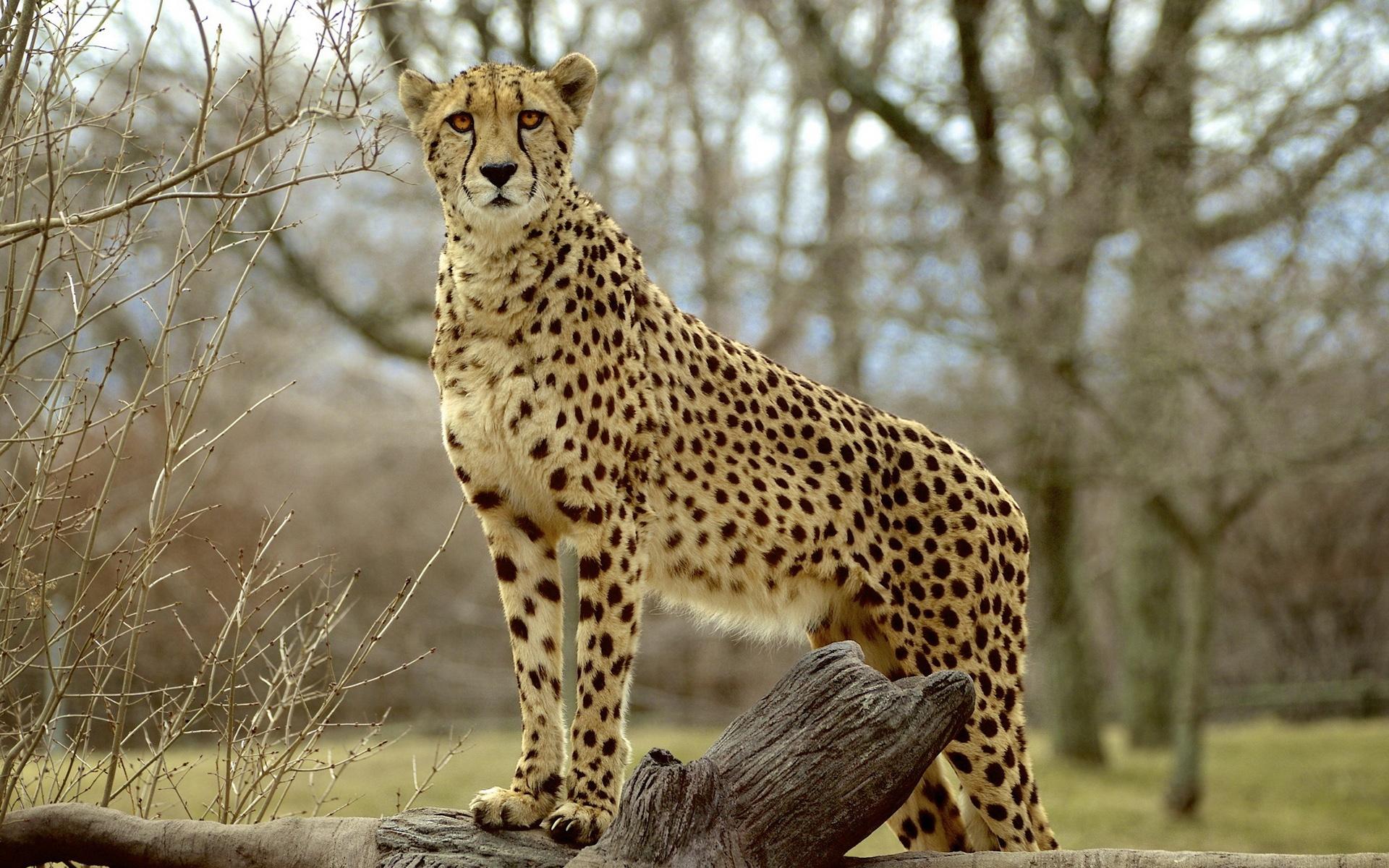 Download Wallpaper 1920x1200 Animal photography, cheetah ...