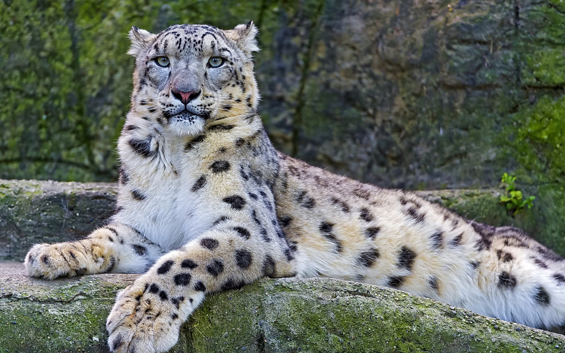 Wallpaper Snow Leopard On The Stone 1920x1200 Hd Picture Image