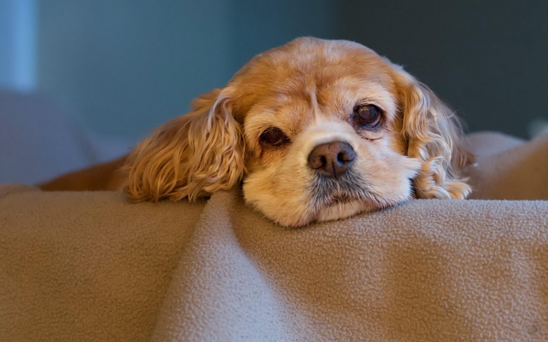 Papéis de Parede Cão bonito olhar no quarto 1920x1200 HD imagem 1d7f42330e