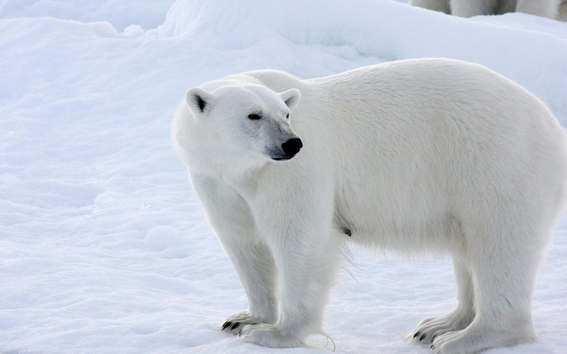 X Five Polar Bear 壁紙 シロクマ、...