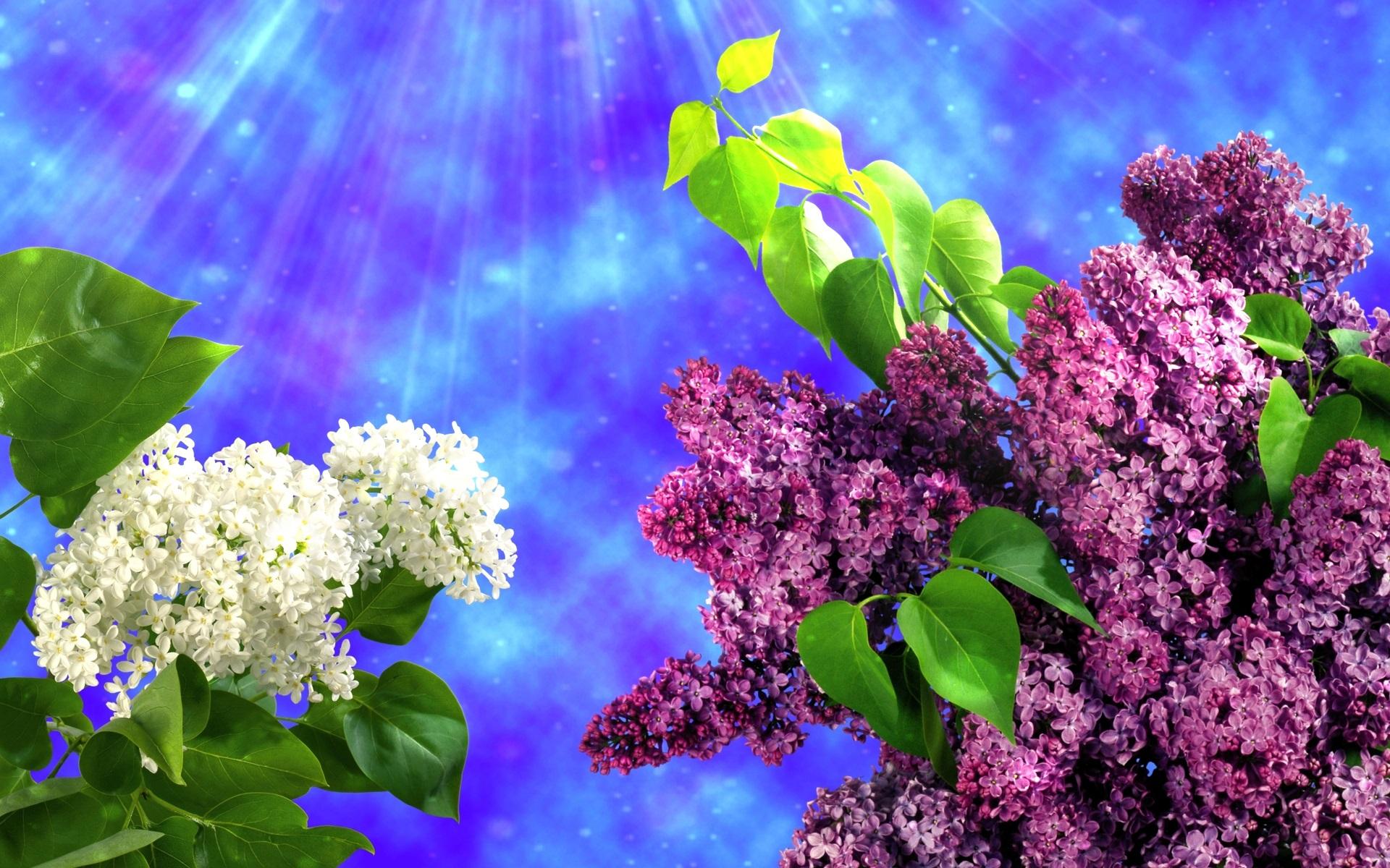 цветы природа сирень  № 2224144  скачать
