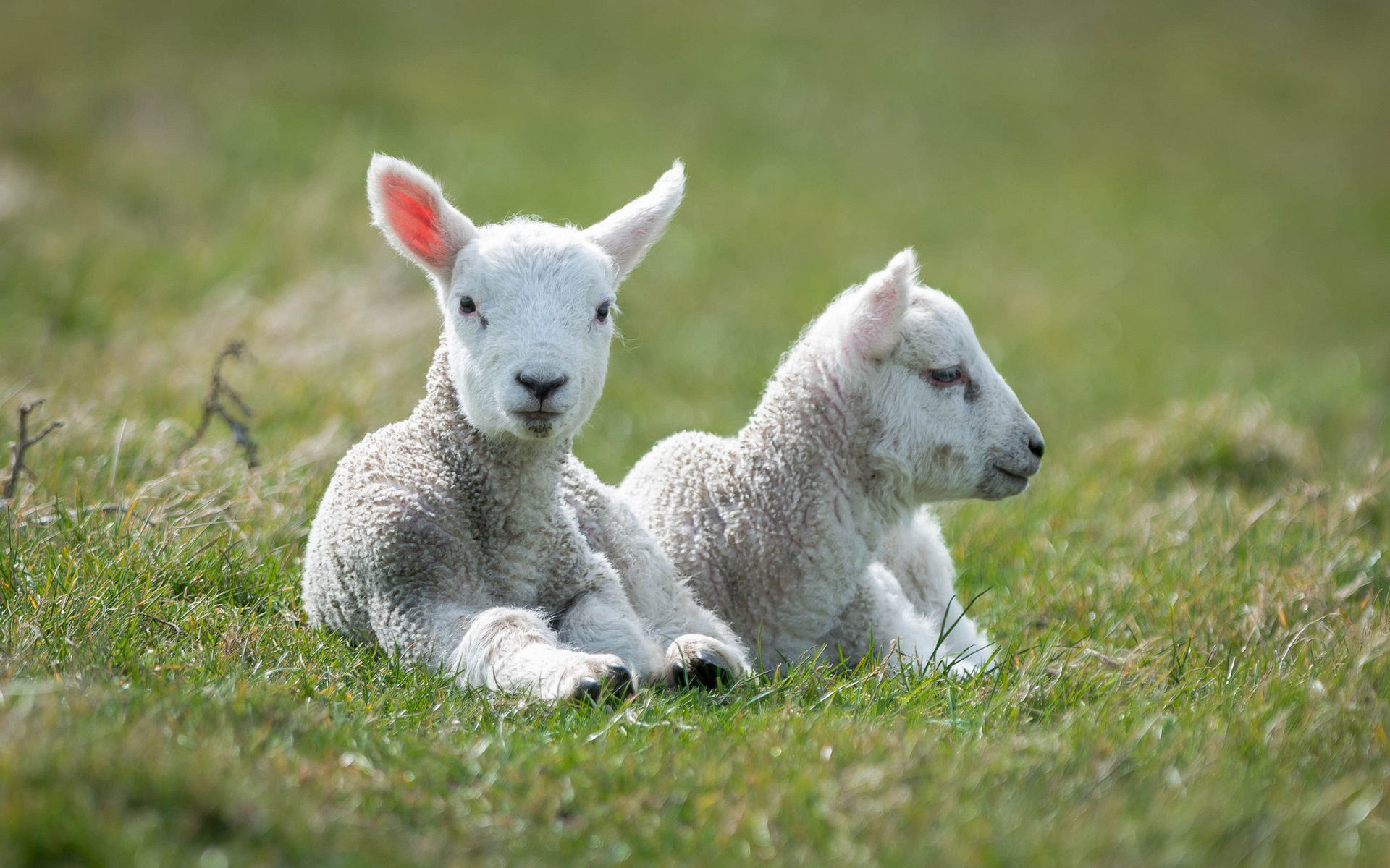 White Sheep Lambs Grass Wallpaper 1920x1200 Resolution