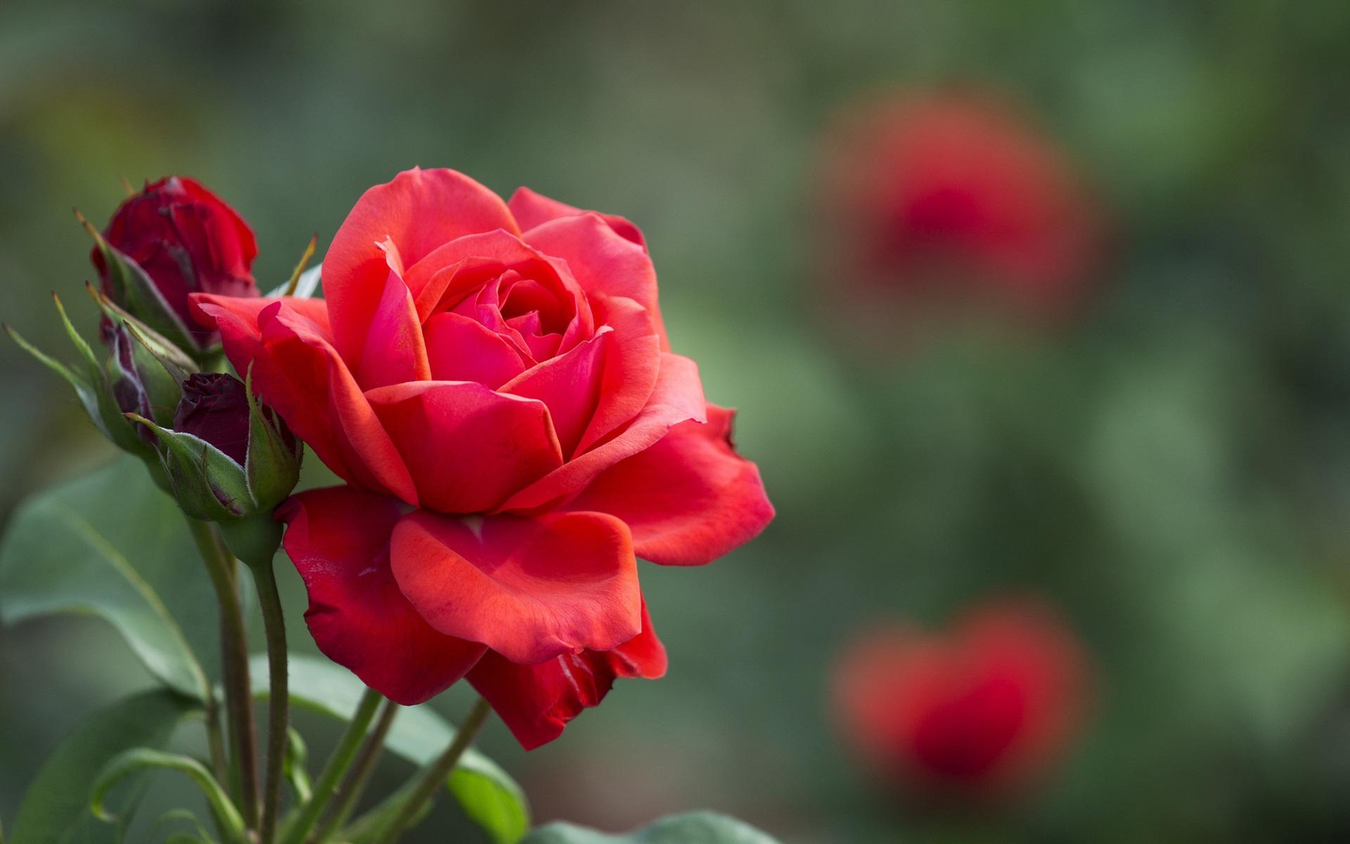 Днем, картинки розы на весь экран