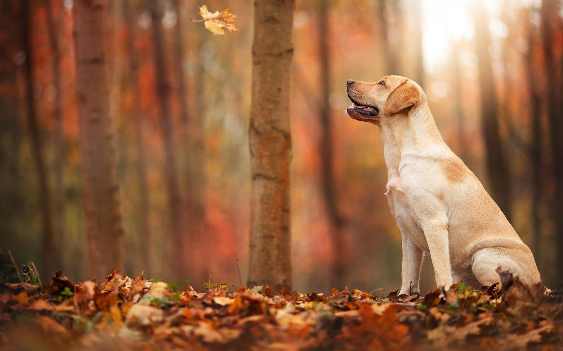 Papéis de Parede Outono, floresta, folha, cão 1920x1200 HD imagem de56448929