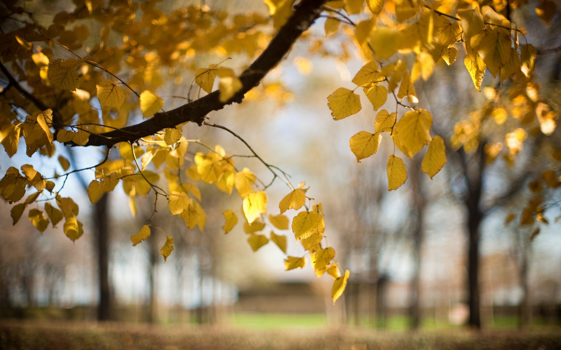 Wallpaper Trees, Yellow Leaves, Autumn, Blur, Nature