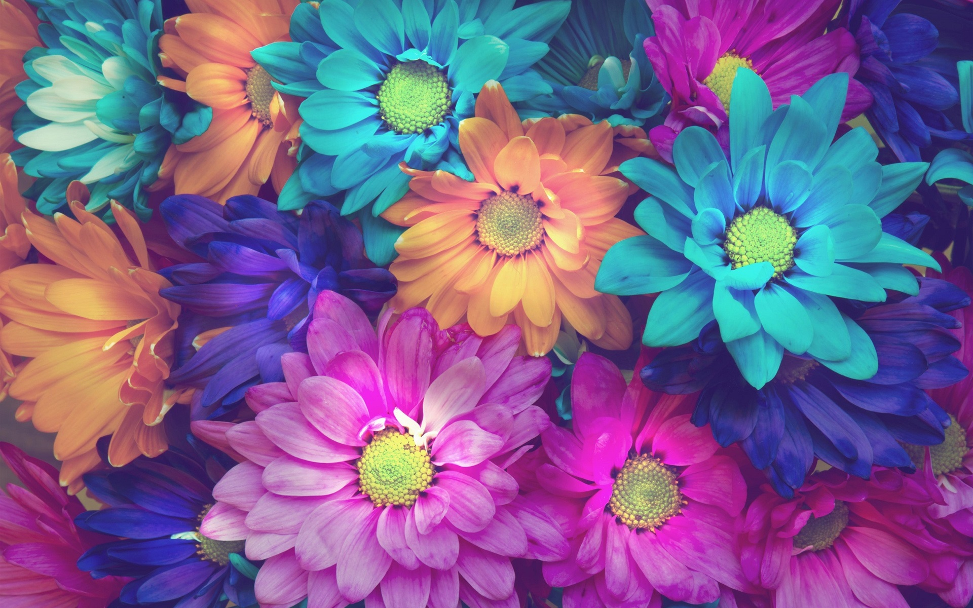 Margarita flores de colores, rosa, azul, naranja Fondos de ...
