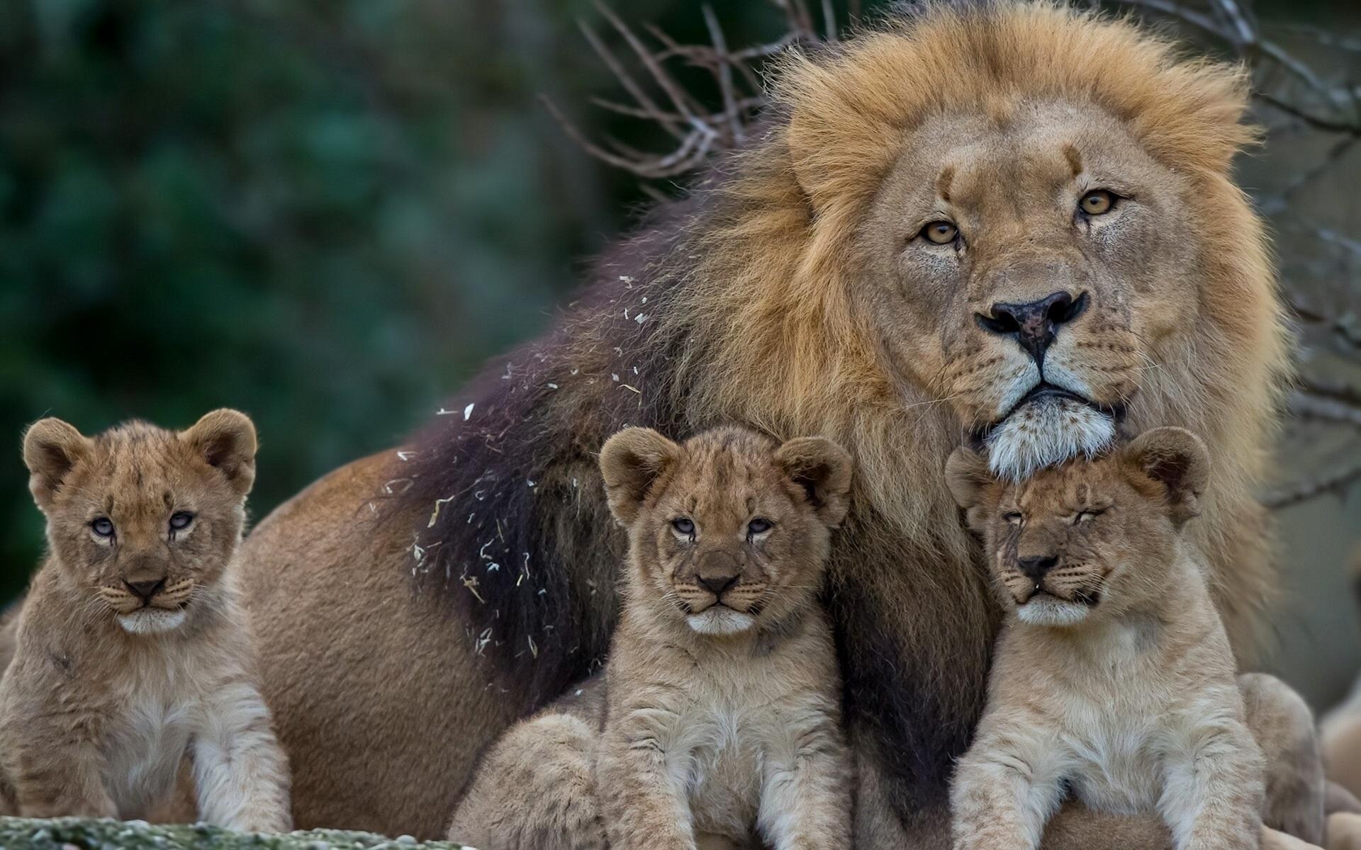 Fonds D Ecran Lion Avec Lionceaux 1920x1200 Hd Image
