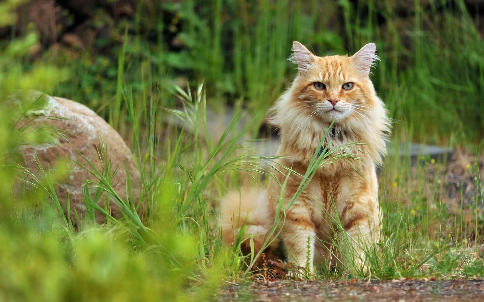 природа рыжий кот трава листья животное рот скачать