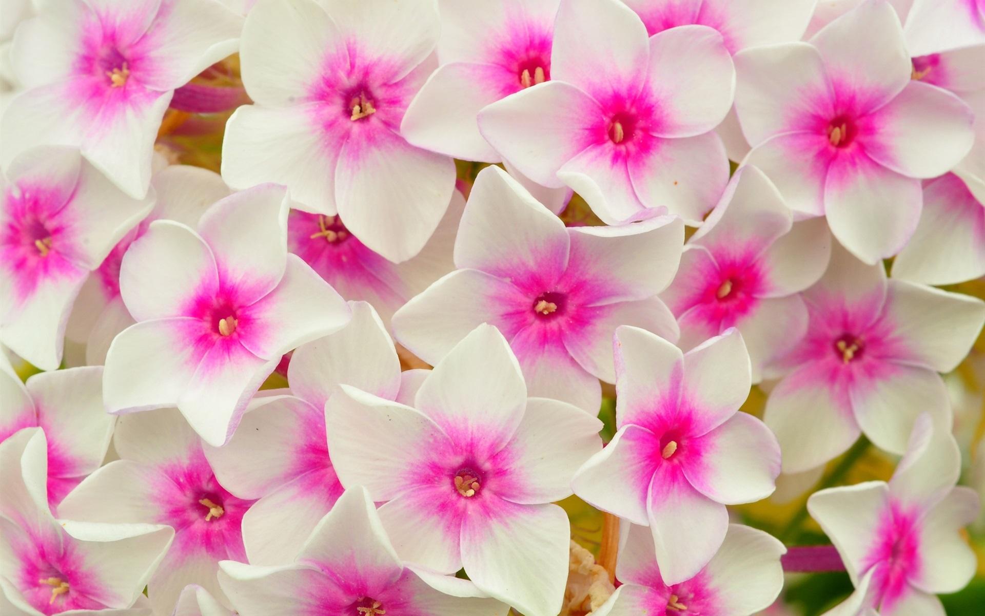 розово-белые цветы бесплатно