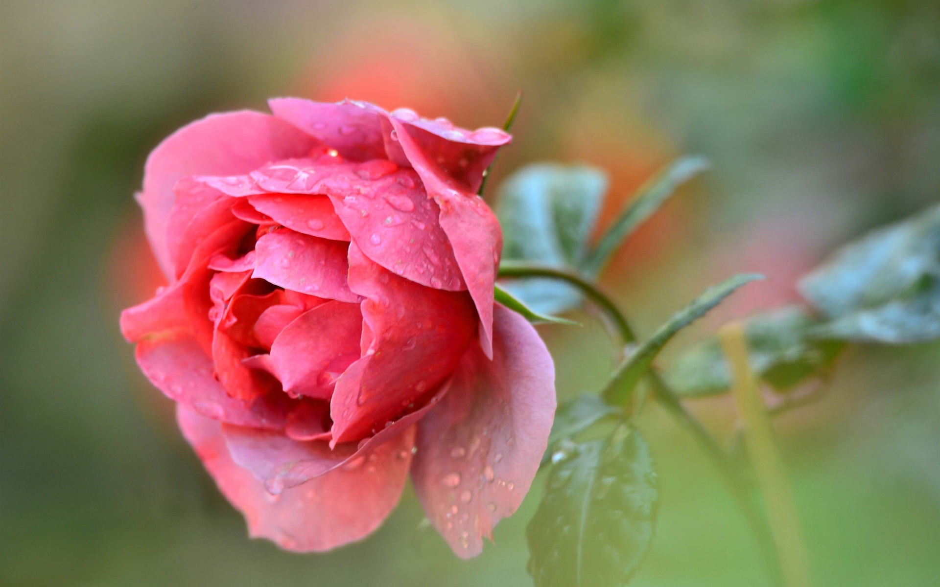 Wallpaper single red rose flower water drops 1920x1200 hd - Rose with water drops wallpaper ...