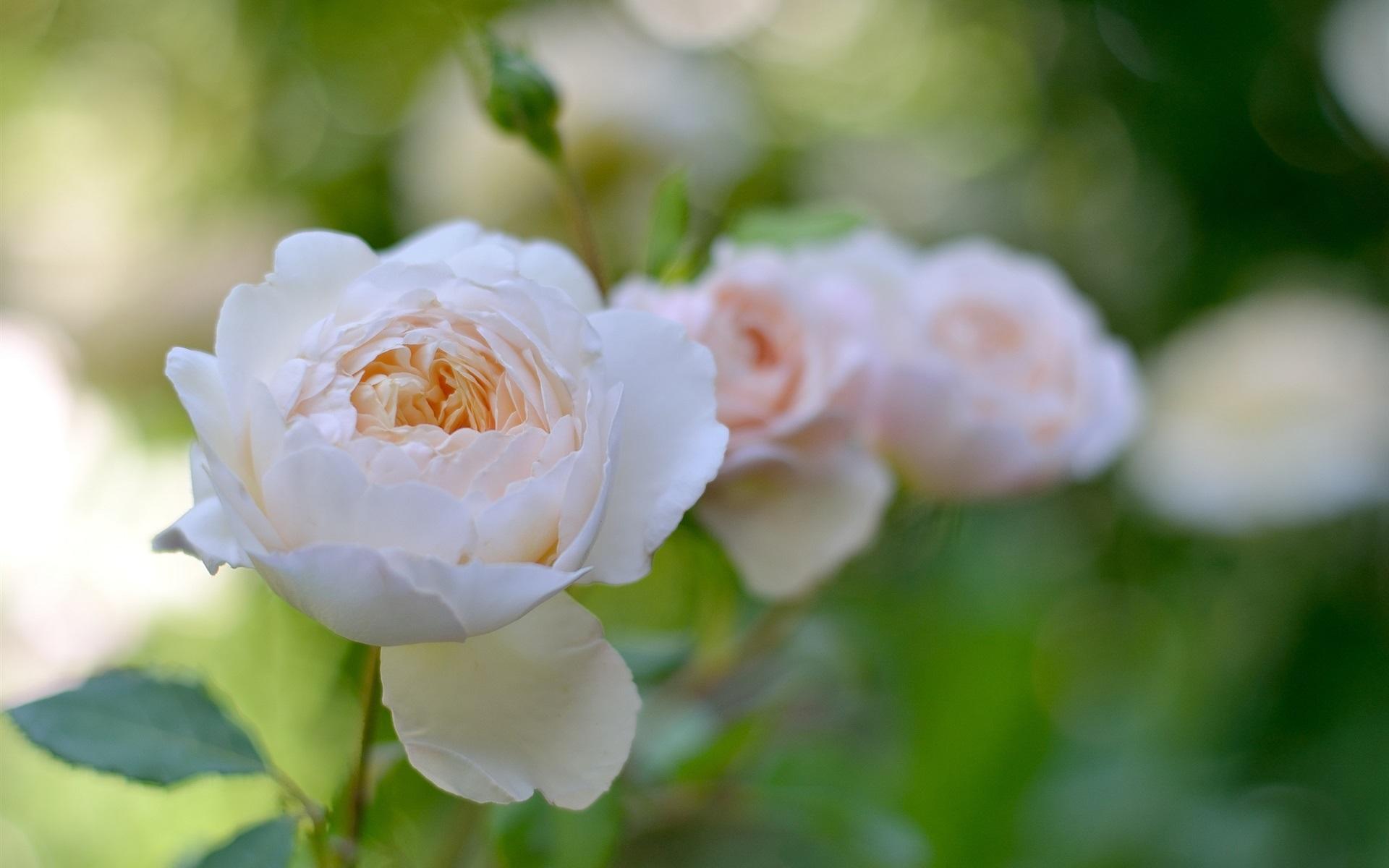 ダウンロード壁紙 1920x1200 白い花バラ、庭 HDのデスクトップの背景