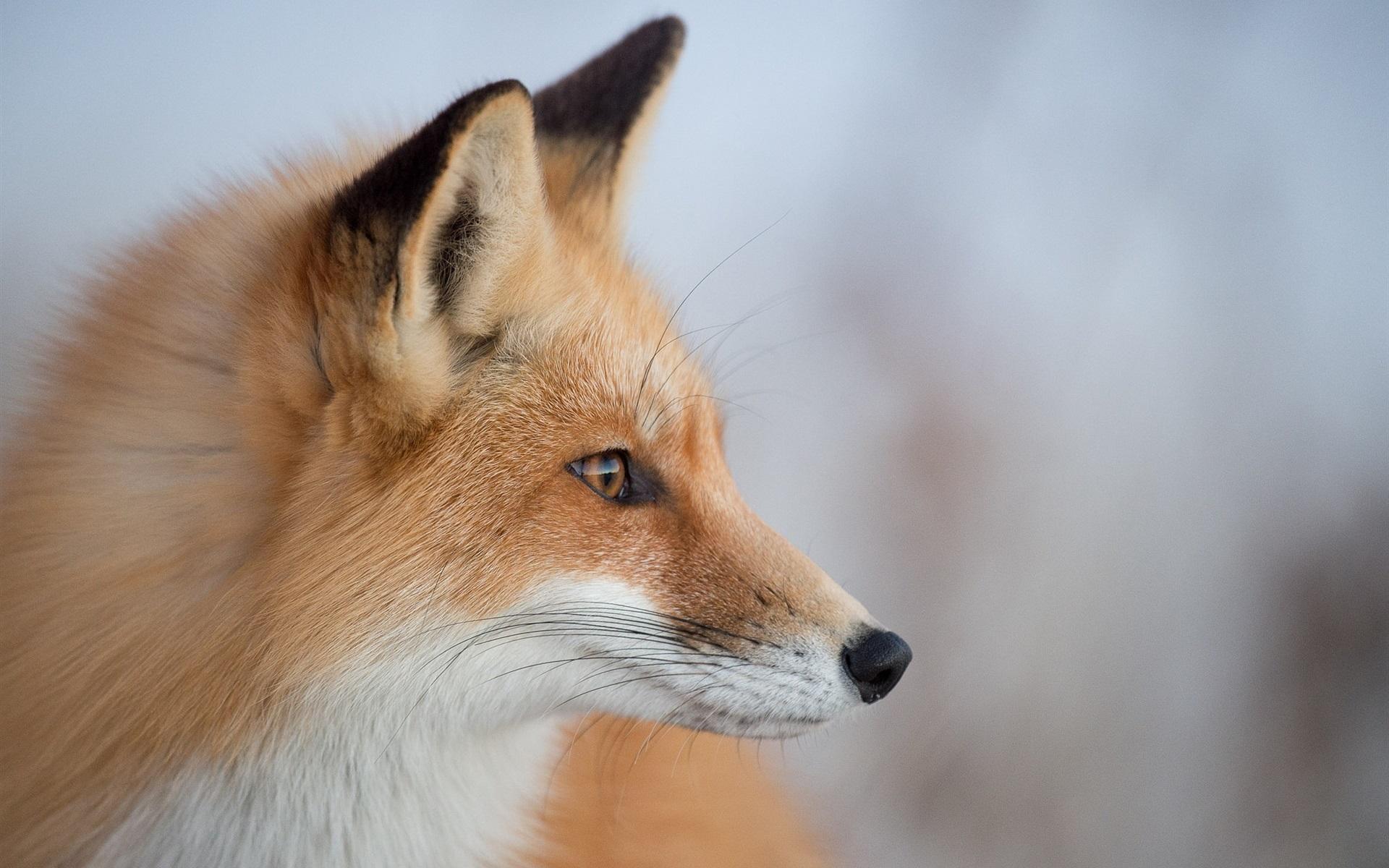 Wallpaper Animal Close Up Fox Head Face Bokeh 1920x1200 Hd Picture Image