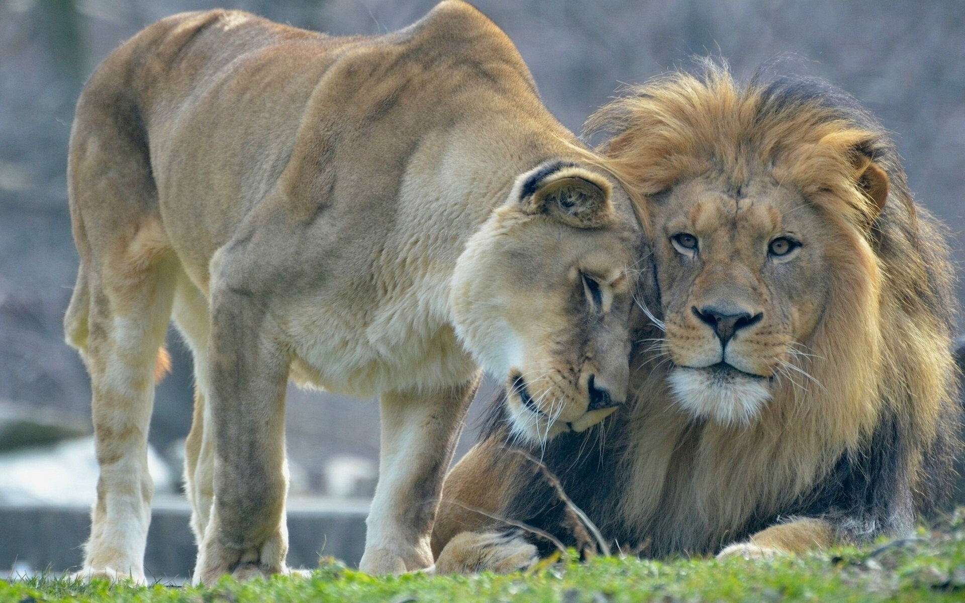 Wallpaper Animal S Love Lion And Lioness 1920x1200 Hd Picture Image