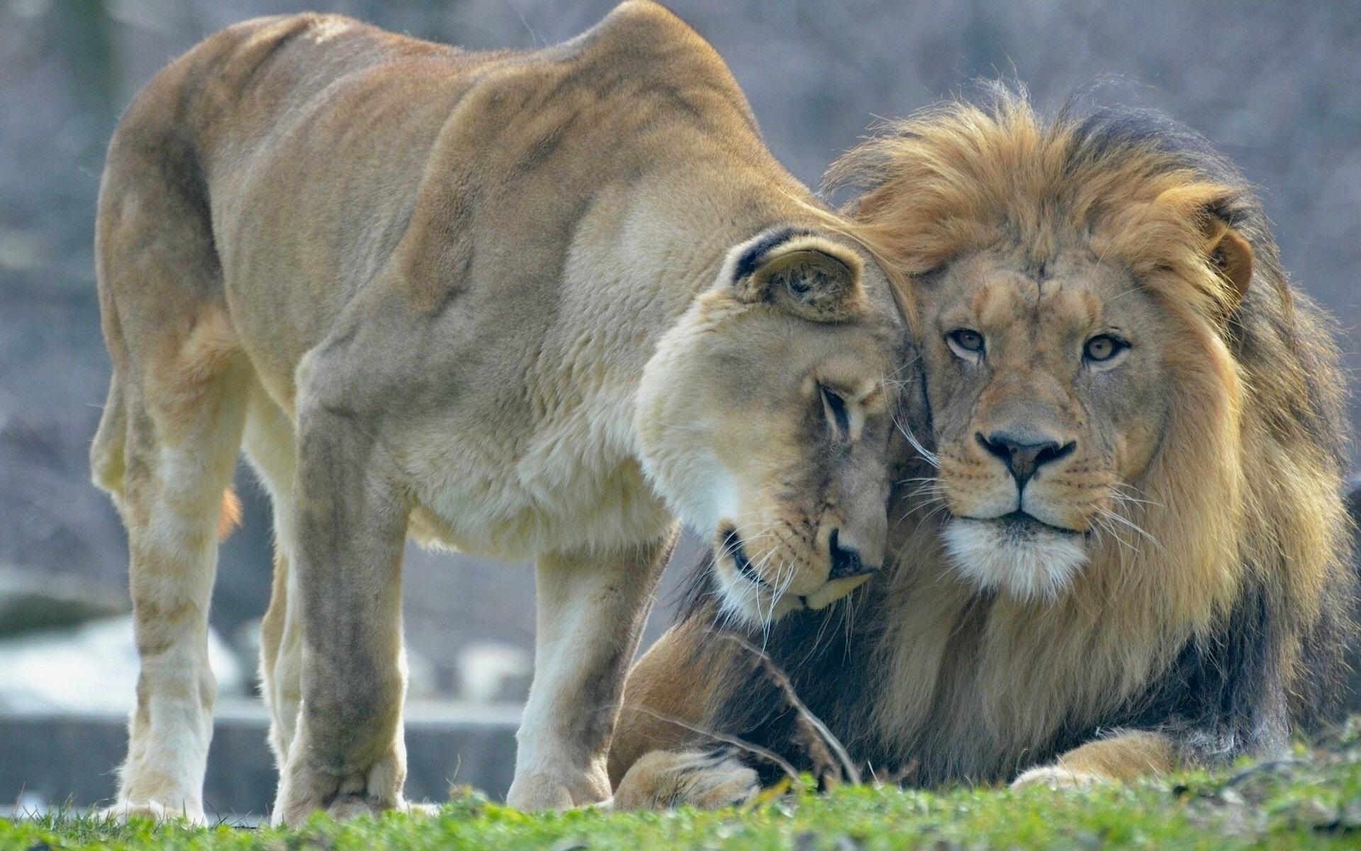 Король Лев скачать торрент в хорошем качестве бесплатно