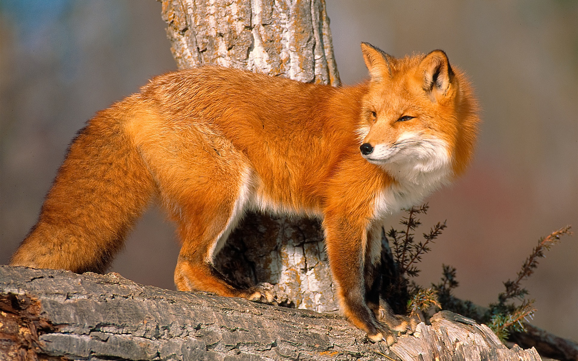 Tiere Nahaufnahme Fuchs Zur 252 Ckblicken Hintergrundbilder