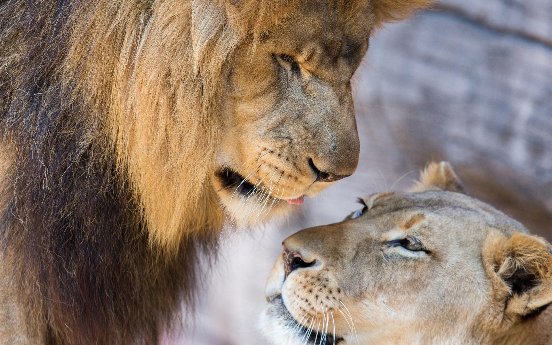Fonds D Ecran Lion Lionne Amour De Couple 1920x1200 Hd Image