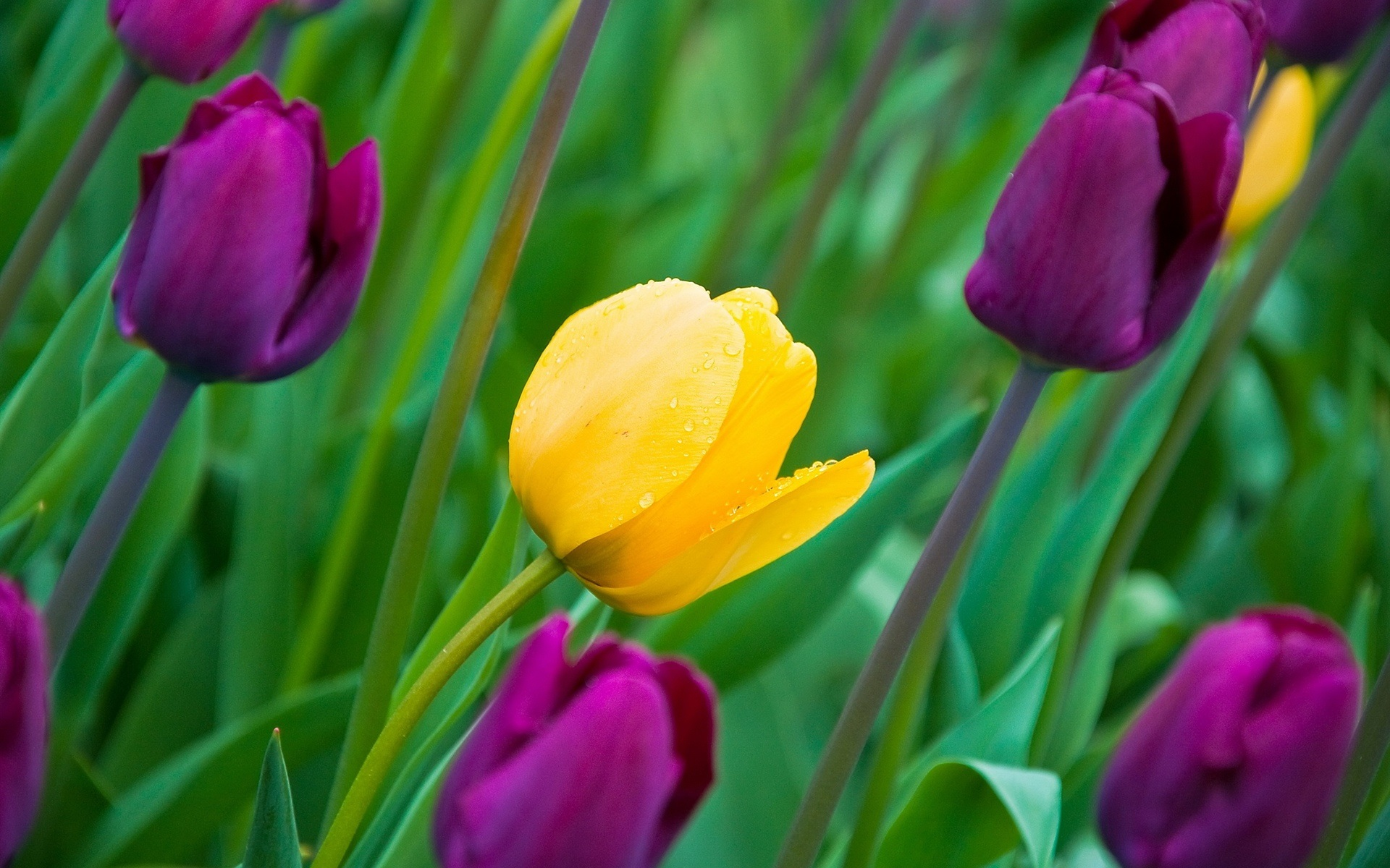 Yellow And Purple Tulips HD Wallpaper « Free To Use Images Photos