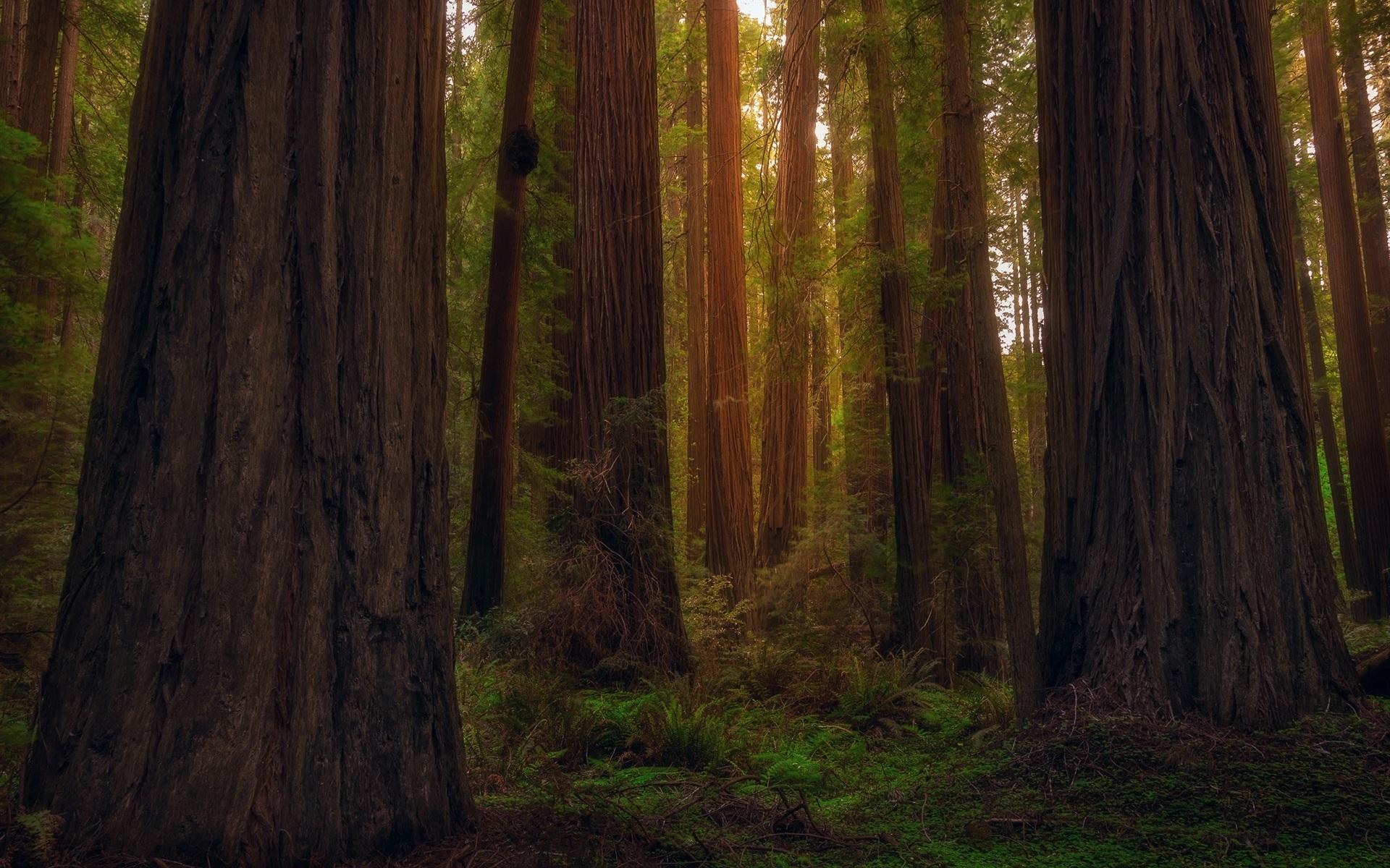 Обои сша, туман, национальный парк редвуд, калифорния. Природа foto 11