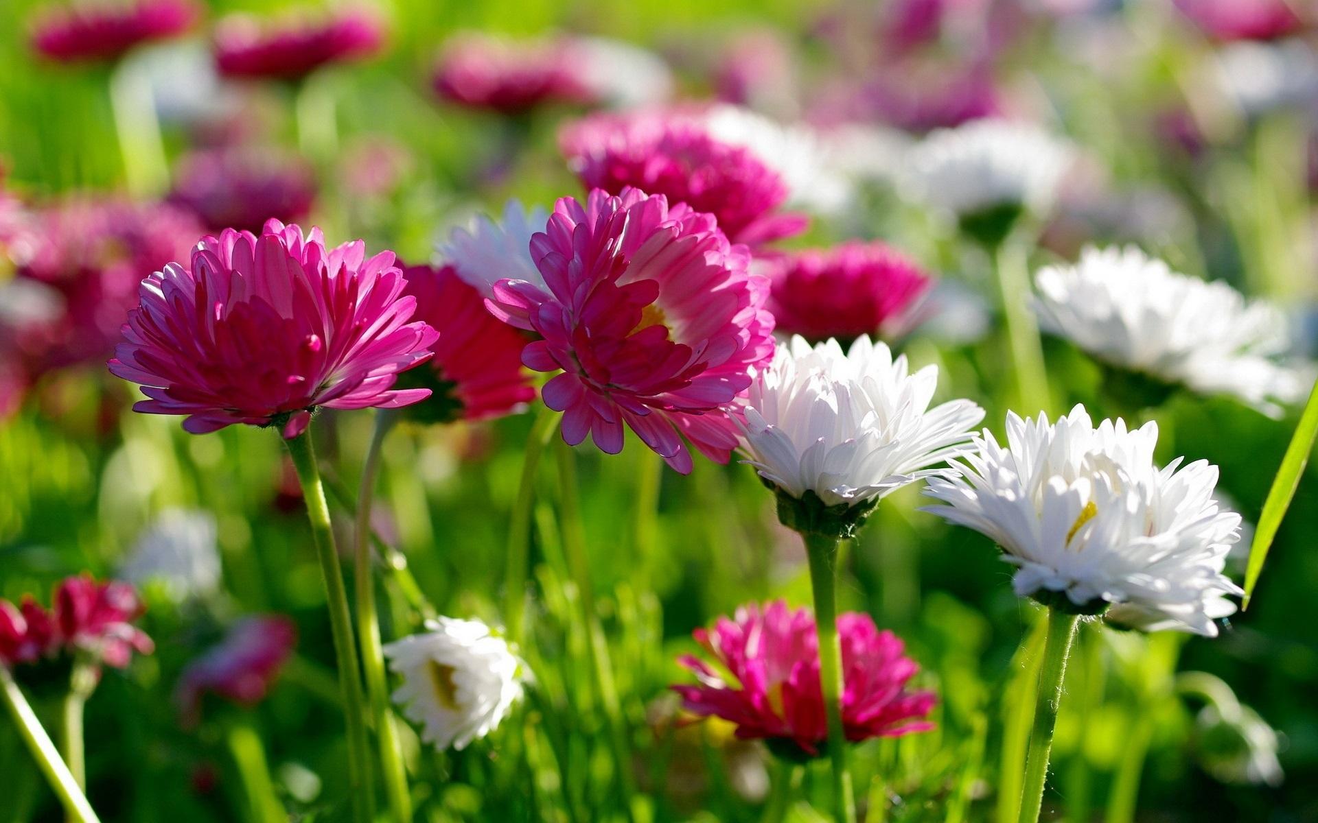 Fondos De Pantalla Flores Rosadas Crisantemo Fondo: Fondos De Pantalla Flores, Verano, Blanco Y Crisantemo
