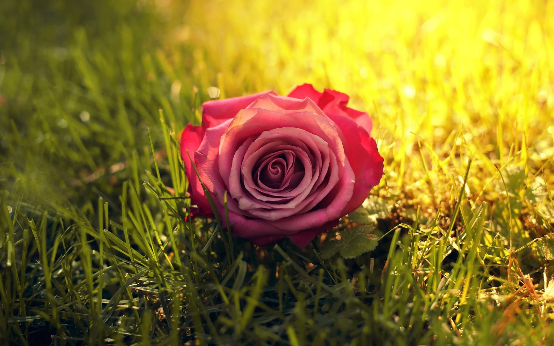 Скачать Цветок Розы