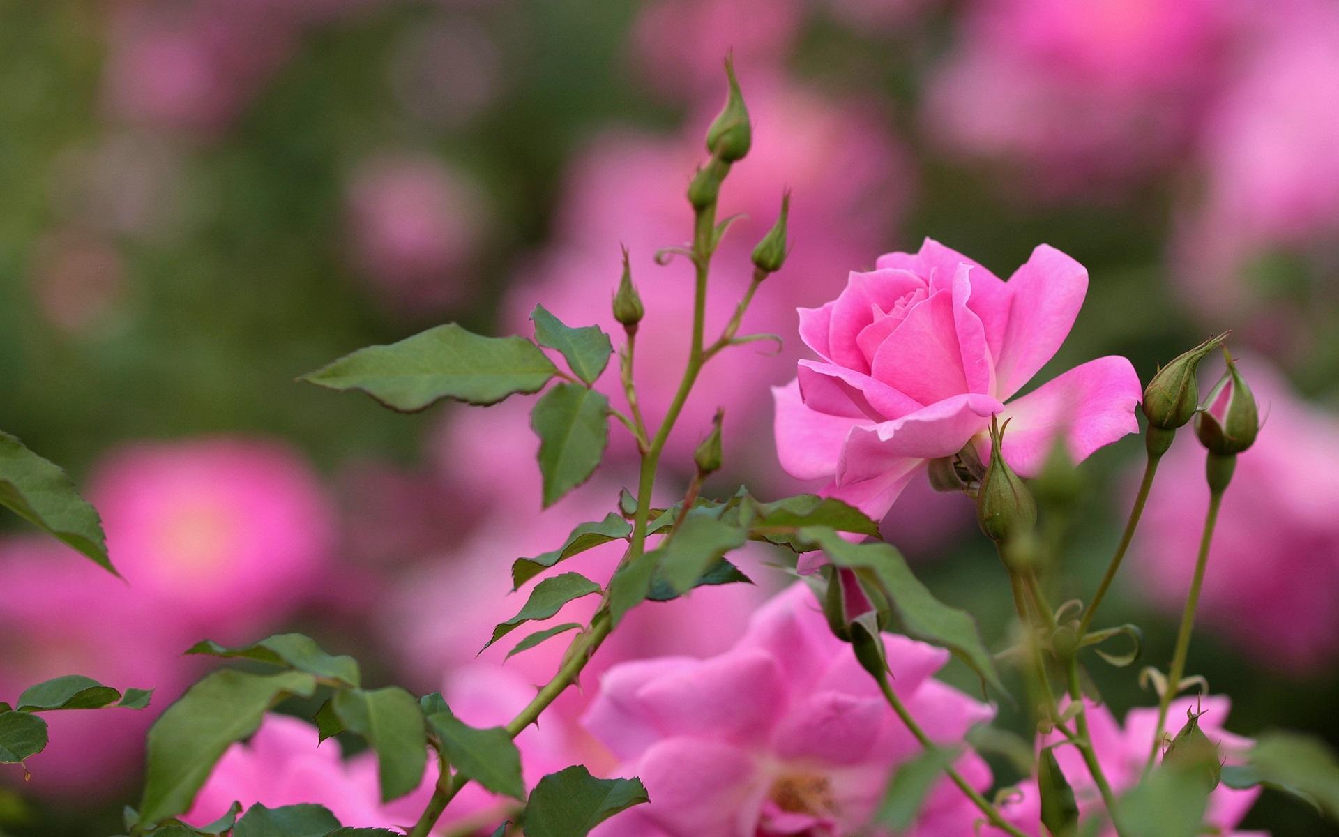 Картинки розово цветов высокого разрешения