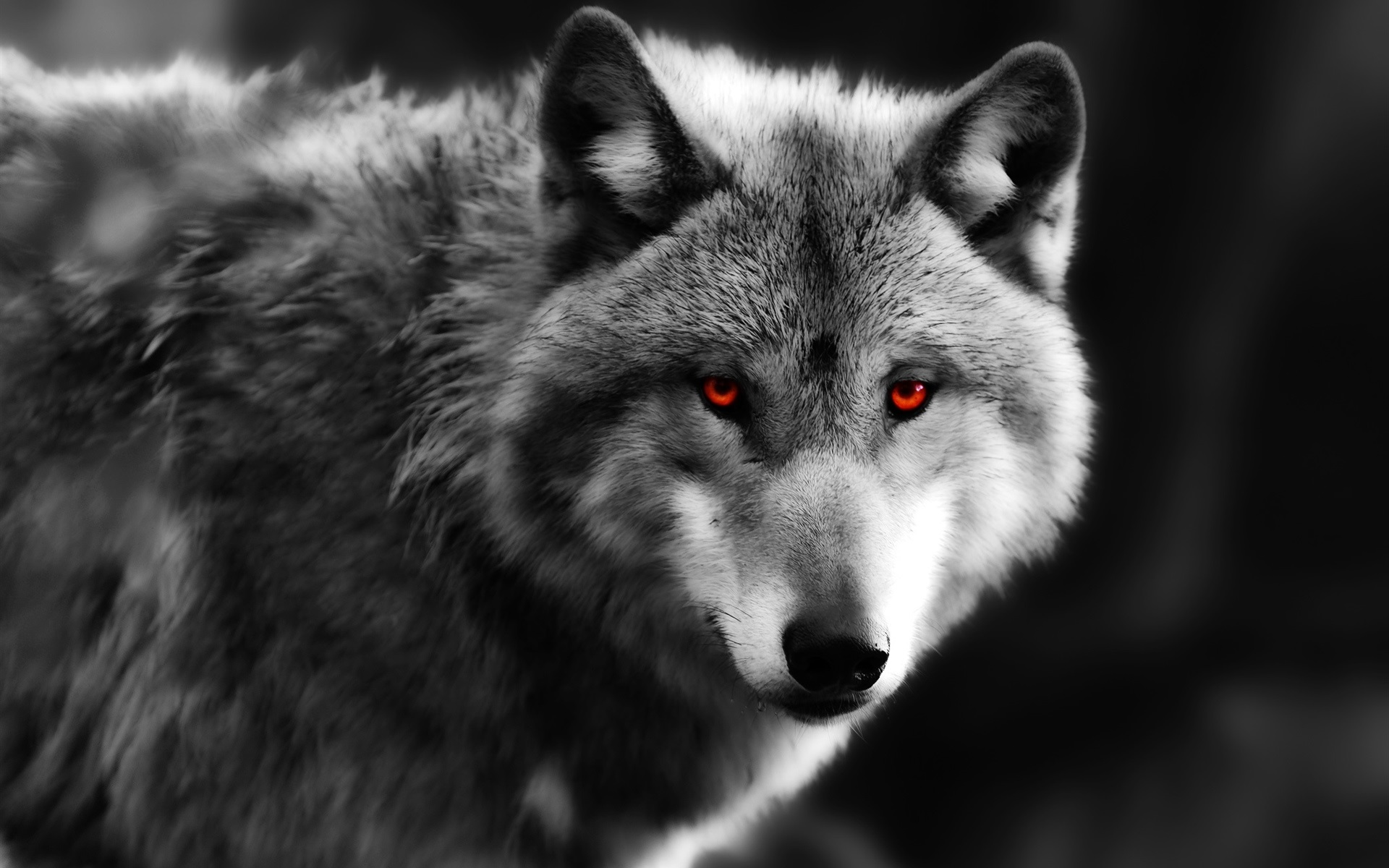 Wallpaper Wolf Close Up Red Eyes Predator 1920x1200 Hd Picture