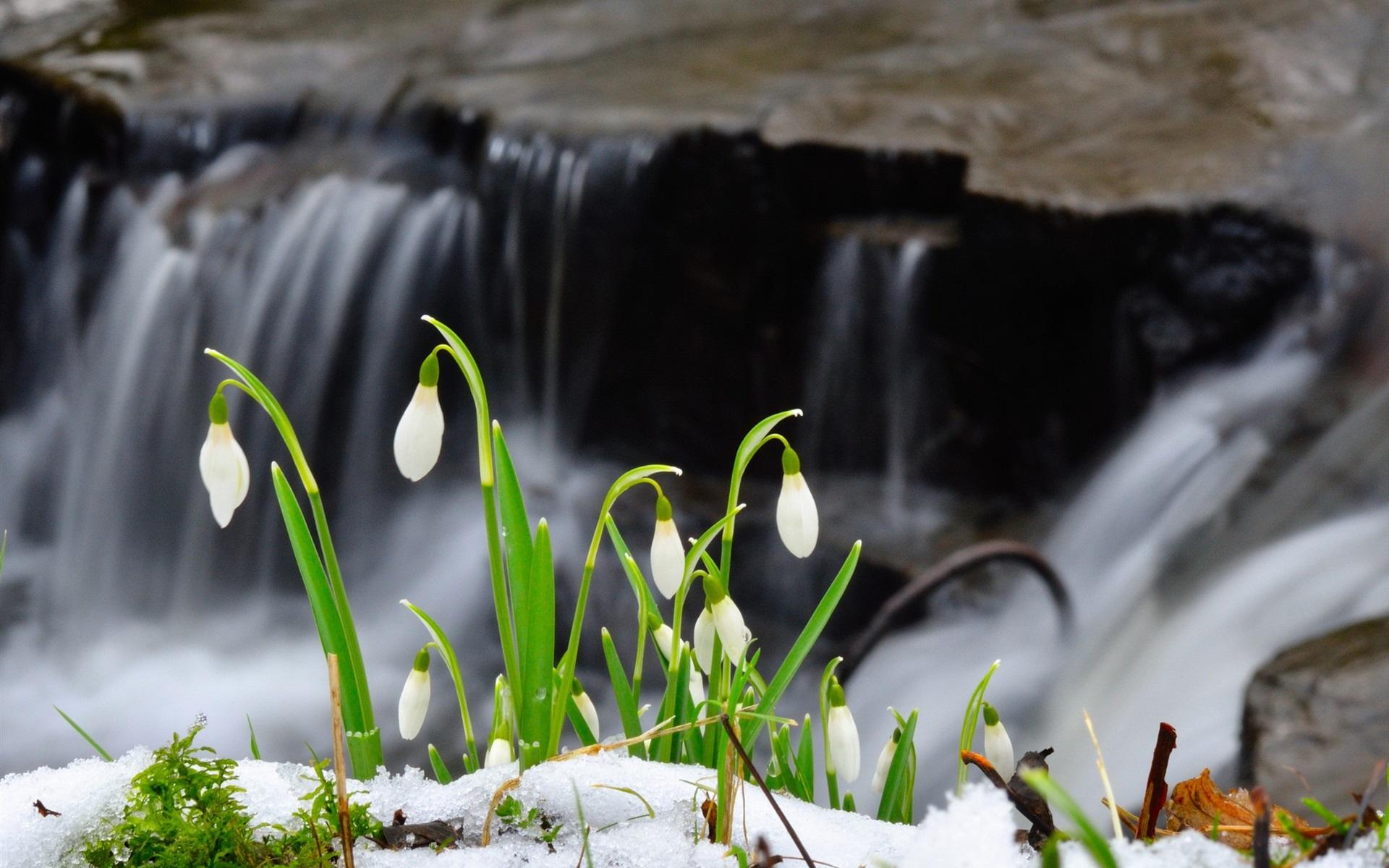 Wallpaper Snowdrop Flowers Snow Waterfall 1920x1200 Hd