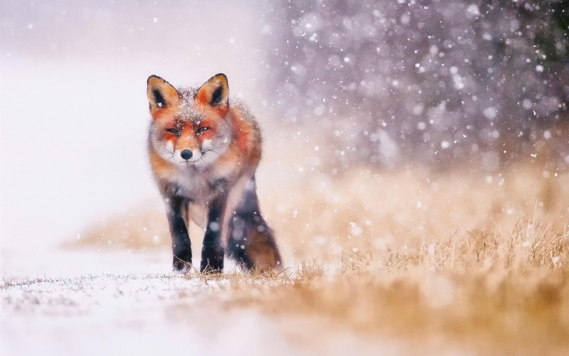 Wallpaper Cold Winter Snow Fox 1920x1200 HD Picture Image