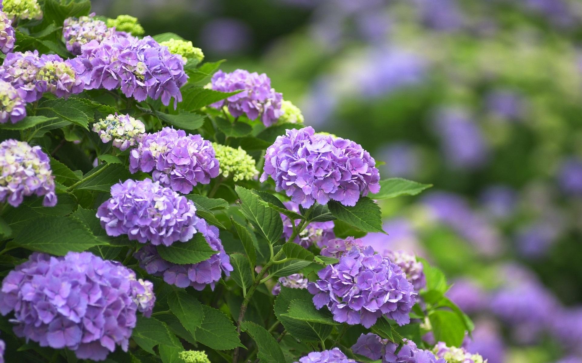 壁纸紫色的花朵 绣球花1920x1200 Hd 高清壁纸 图片 照片