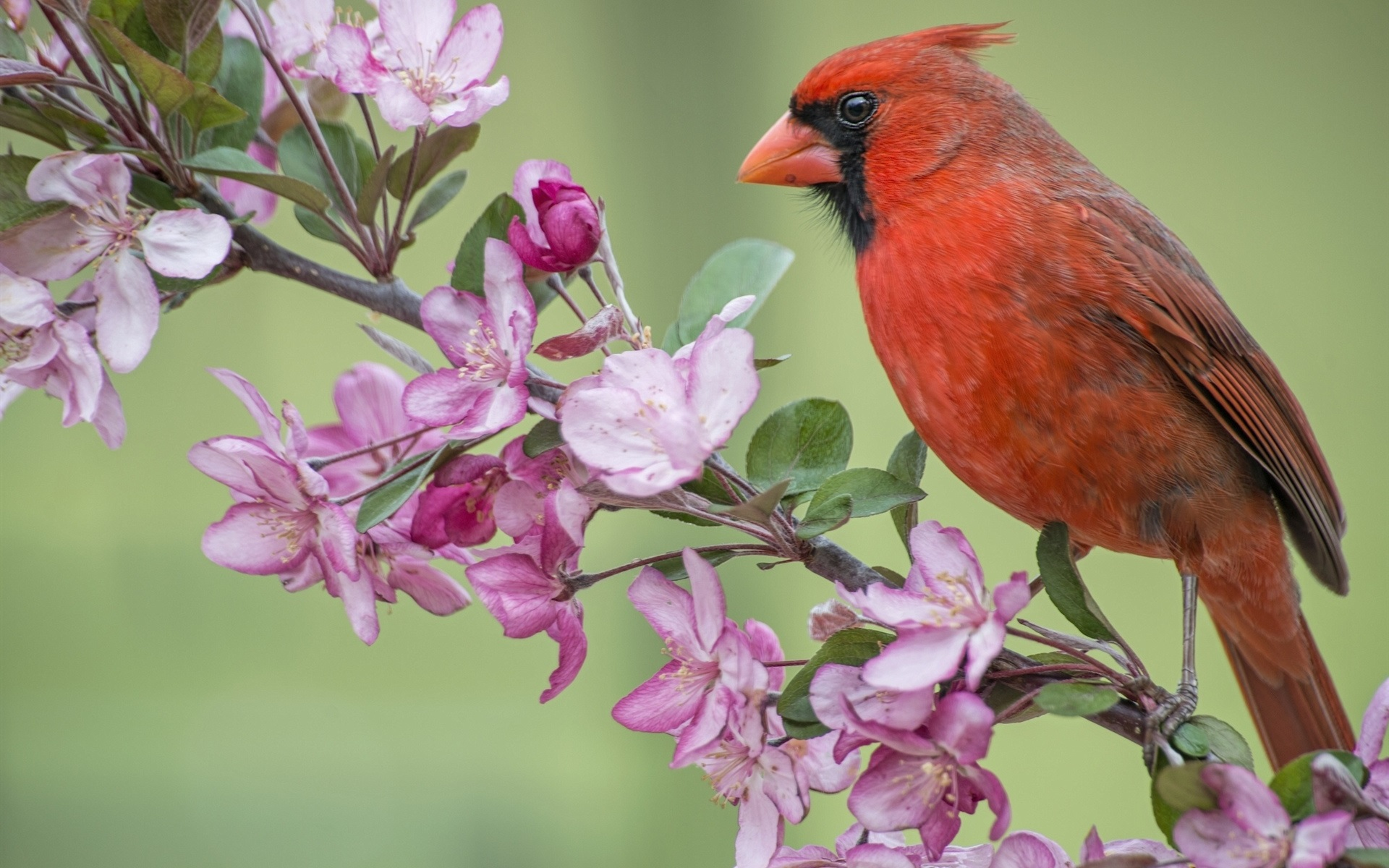 Wallpaper Red Cardinal Bird Apple Tree Flowers Blossom Spring