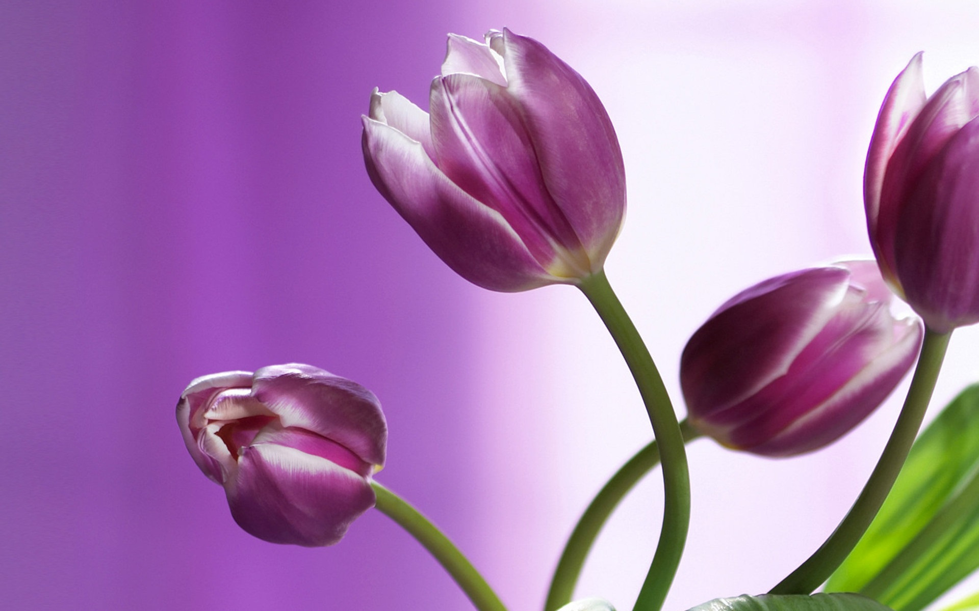 Two Purple Tulips Wallpaper and Background Image x ID