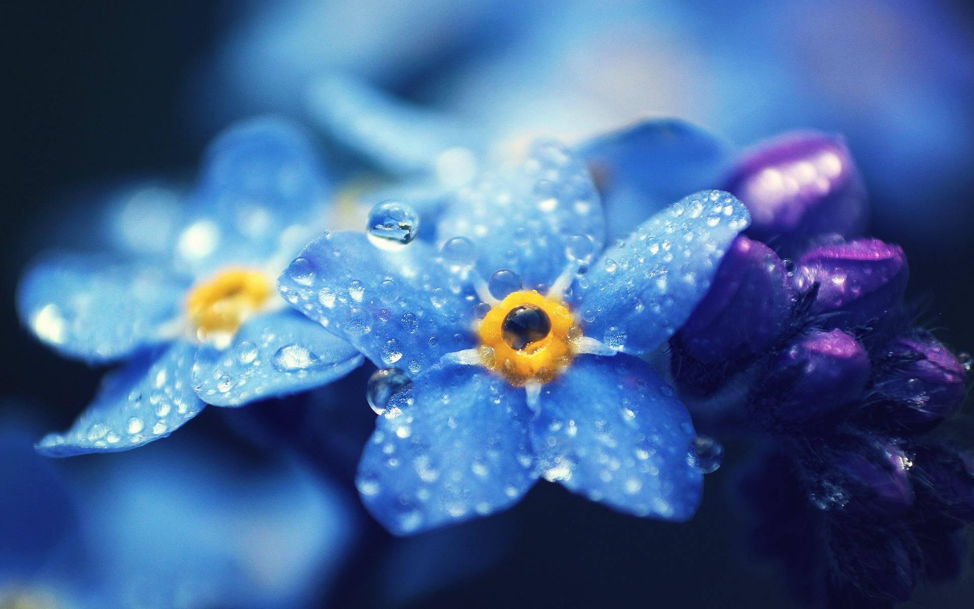 Hintergrundbilder Blaue Blume: Vergissmeinnicht Blaue Blüten Makrofotografie, Tau
