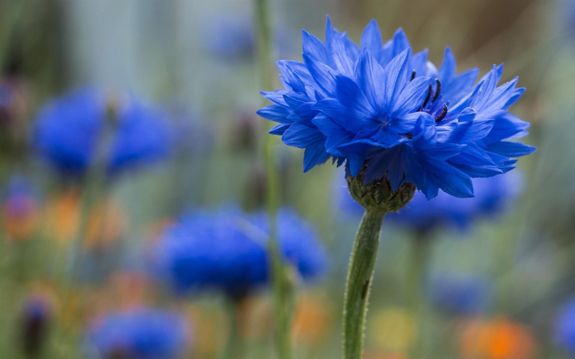Hintergrundbilder Blaue Blume: Blaue Kornblumen-Blume 1920x1200 HD Hintergrundbilder, HD