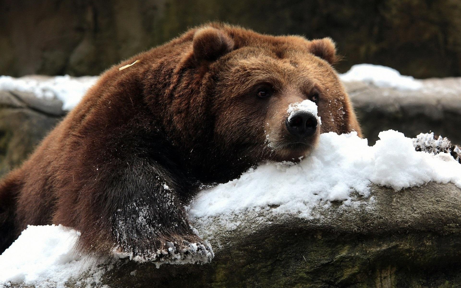 Медеведь бурый лес зима загрузить