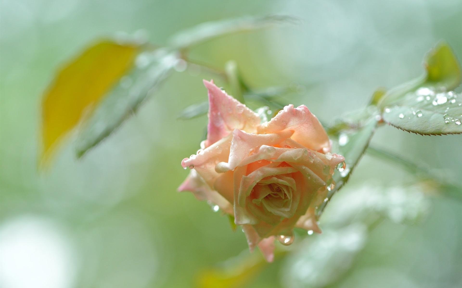 розы,капли,бутоны,зелень  № 759570 бесплатно