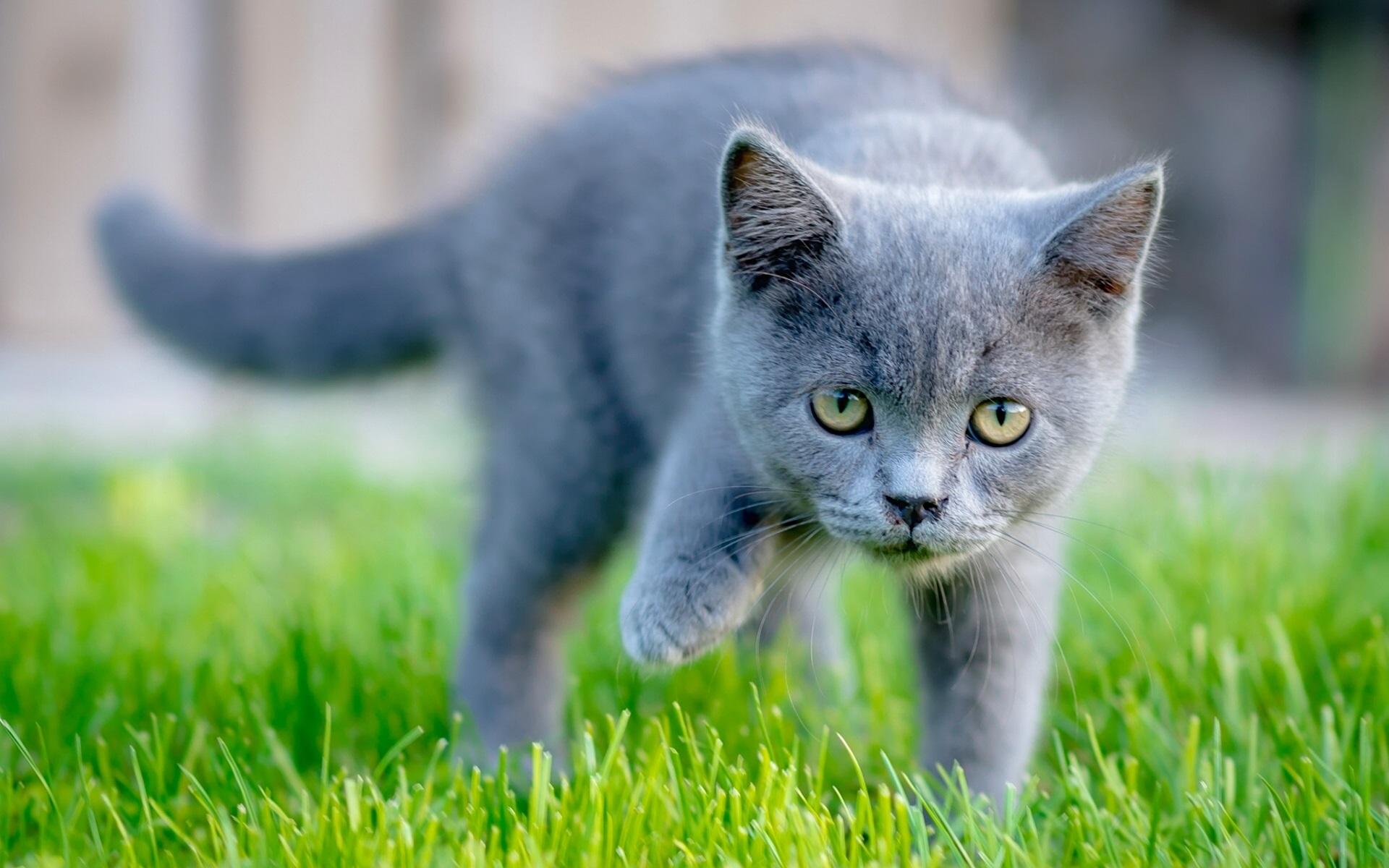 Дымчатый кот в траве  № 252545 загрузить
