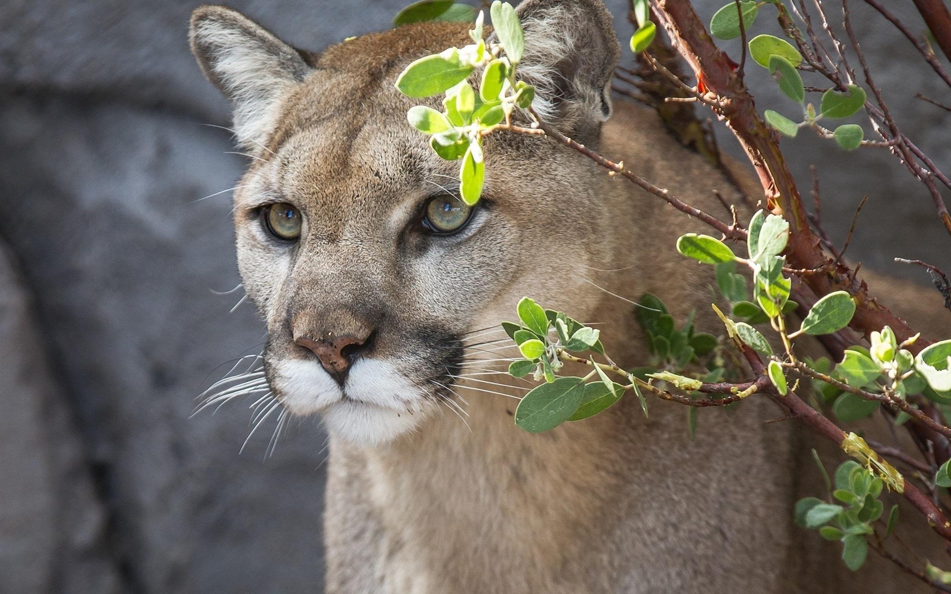 Wallpaper Cougar Mountain Lion Wild Cat Face Twigs 1920x1200